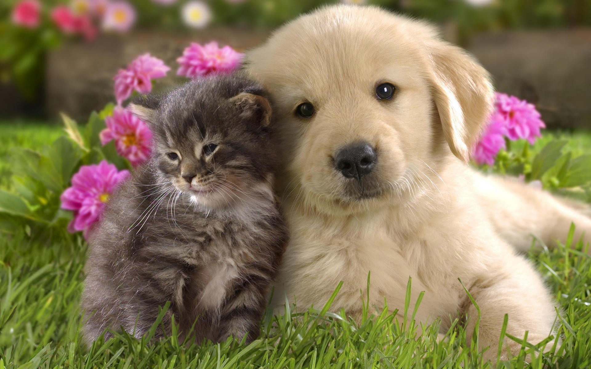 1920x1200 Download Cute Kitten And Puppy Wallpaper Free Wallpapers - PetPictures