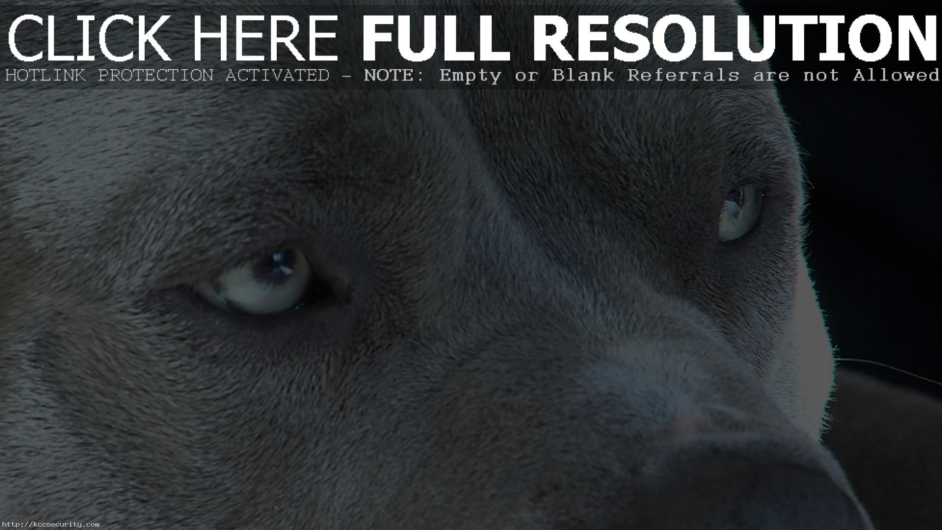 1920x1080 Pitbull Dog Widescreen Wallpaper 49478