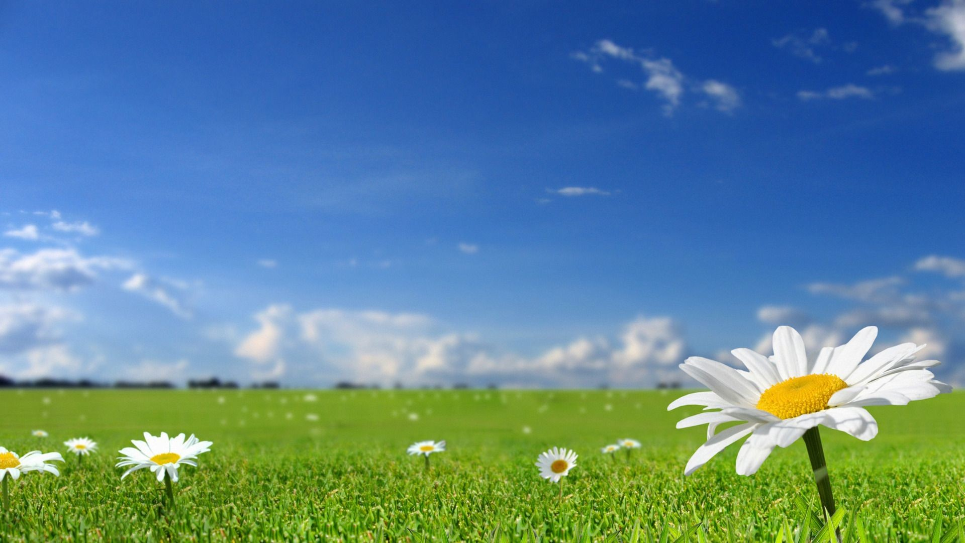 1920x1080 beautiful-white-flowers-in-fields-with-blue-sky-