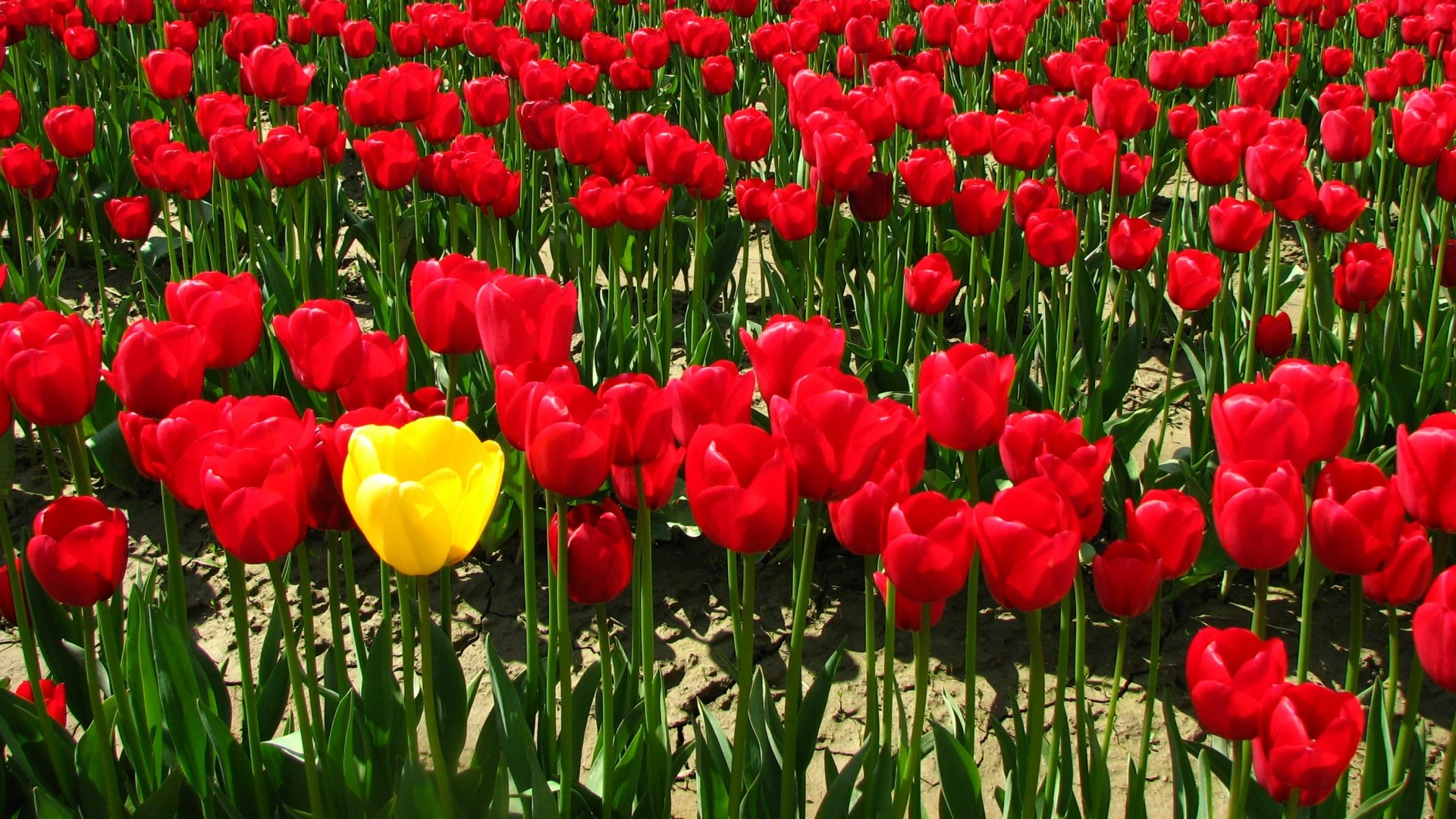 1920x1080  Wallpaper tulips, flowers, golf, land, village