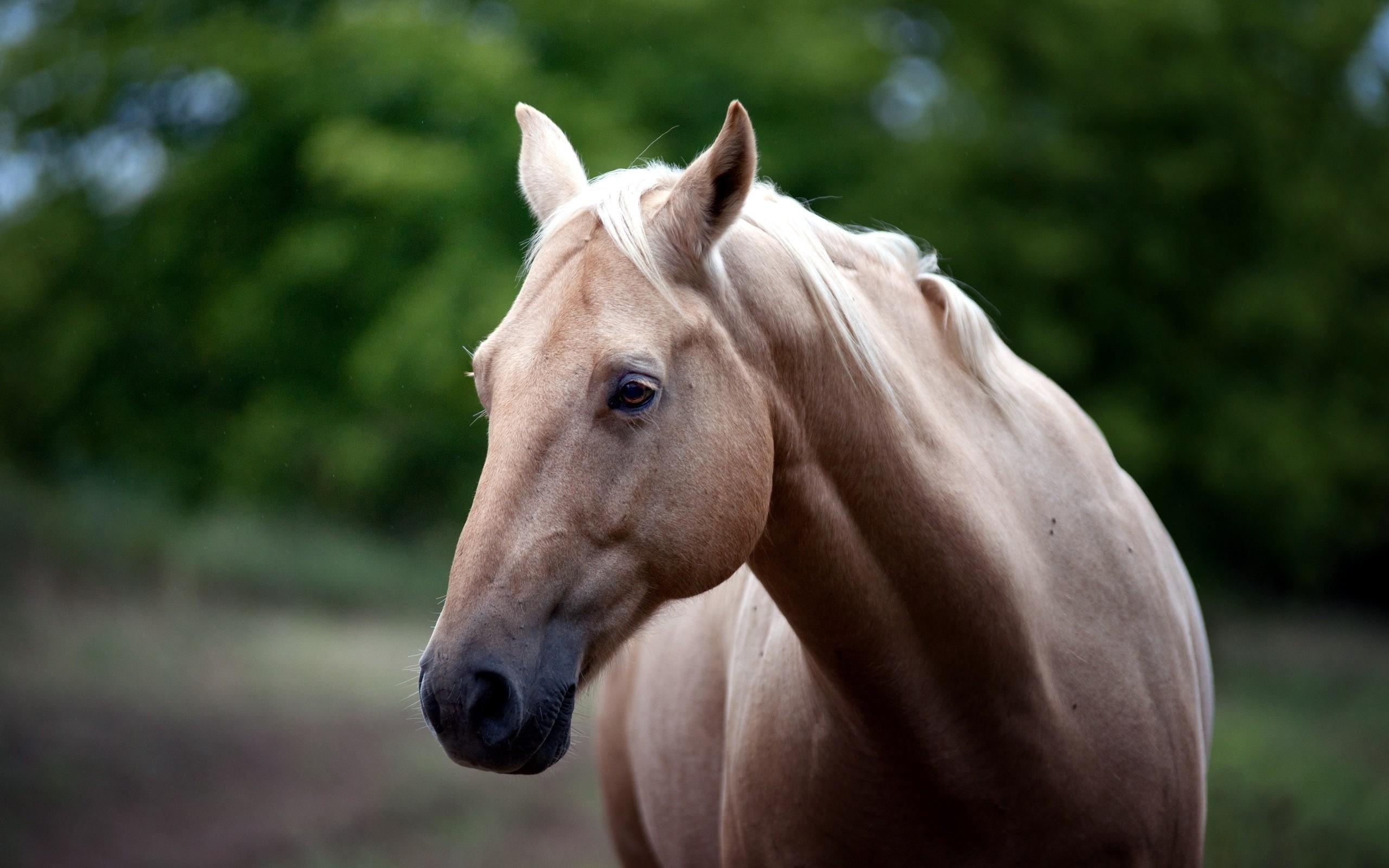 Arabian horse photo gallery wallpaper 53 images - Arabian horse pics ...