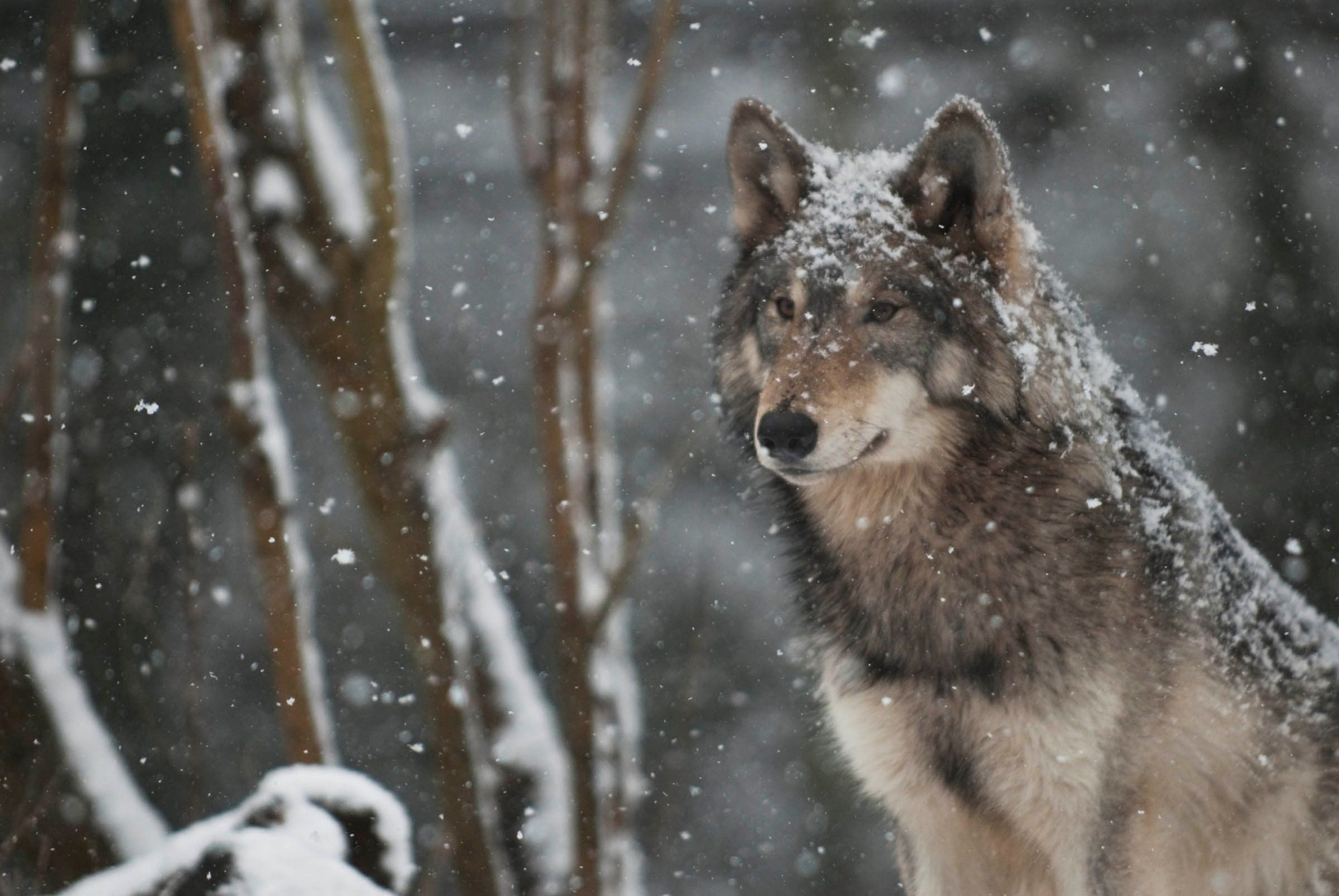 Wolf Pack Wallpapers With Many Wolves Desktop