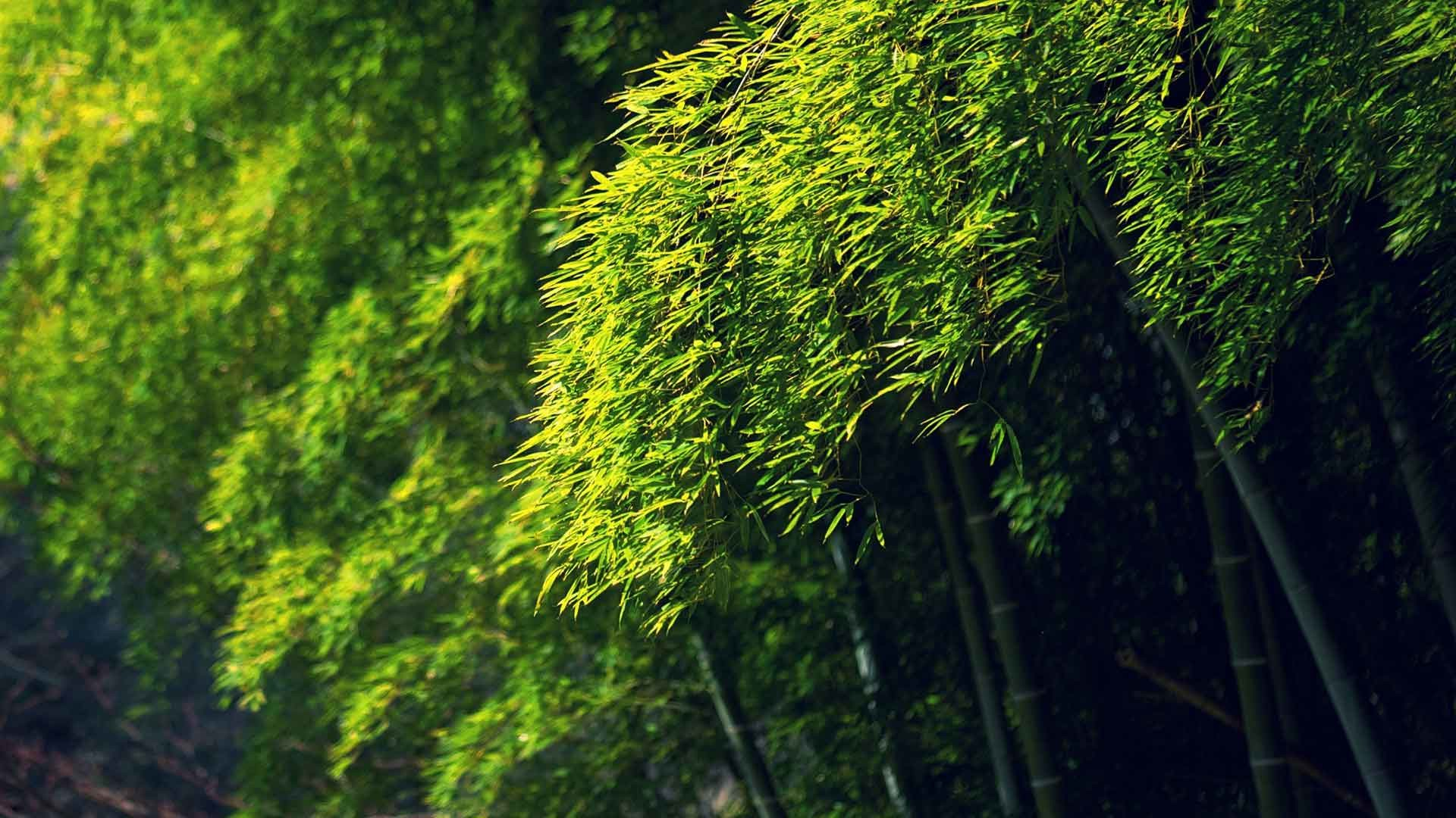 1920x1080 Trees Bamboo Green Bokeh Desktop Wallpaper Nature High Resolution