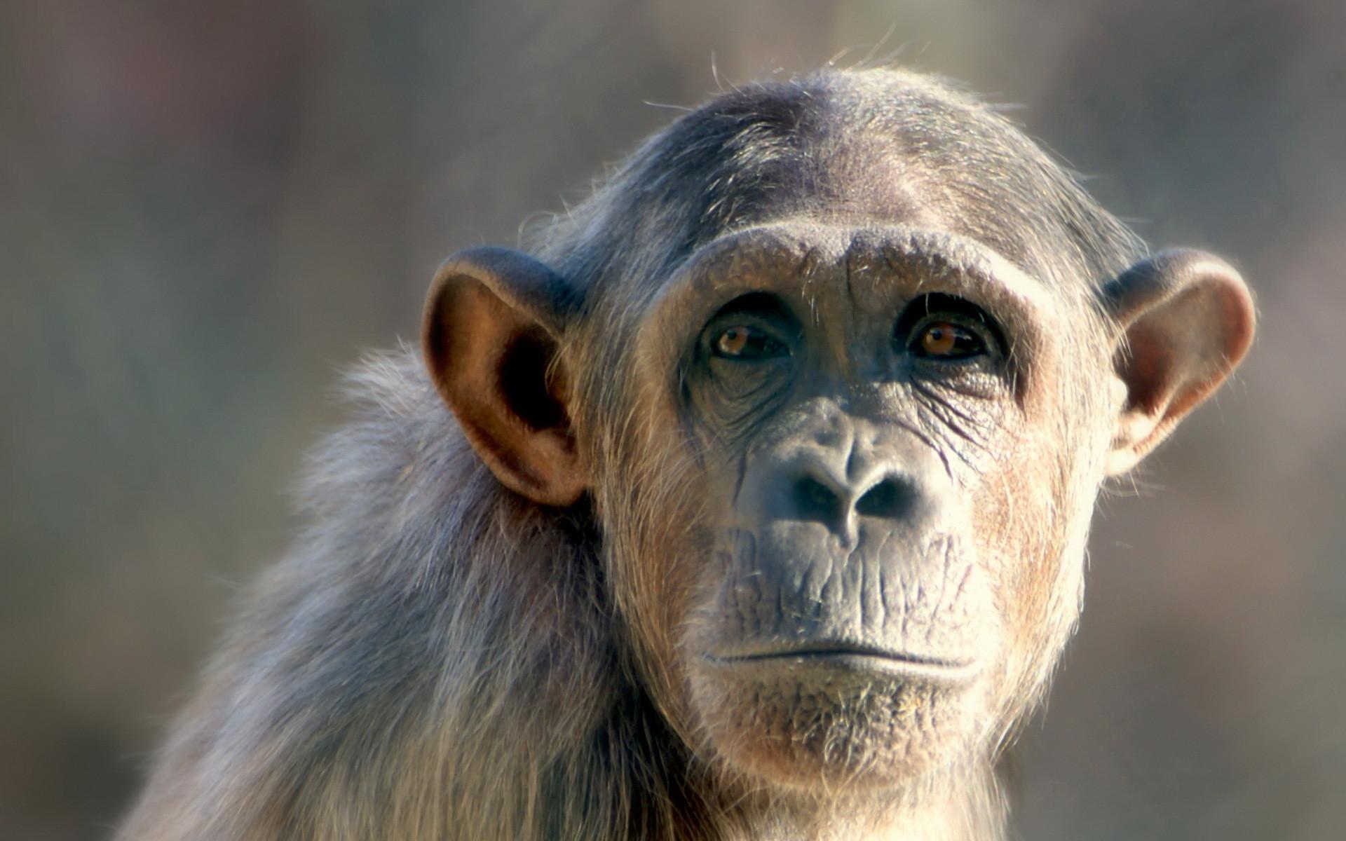 Monkey Hd Wallpaper 58 Images