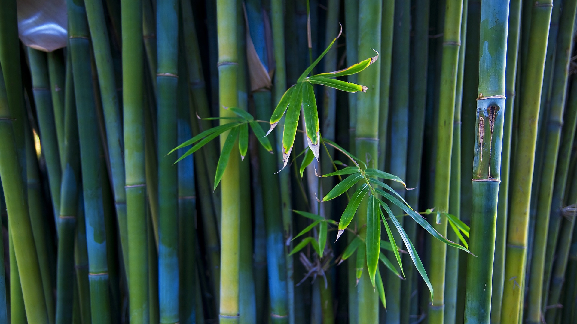 1920x1080 Preview wallpaper bamboo, stalks, leaves, branch