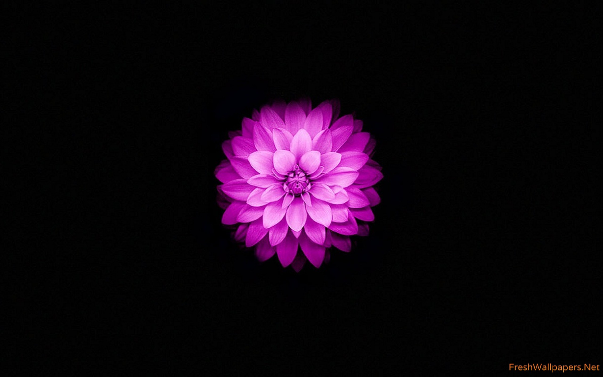 2560x1600 Apple iPhone 6 and iPhone 6s Wallpaper with Purple Lotus Flower wallpaper