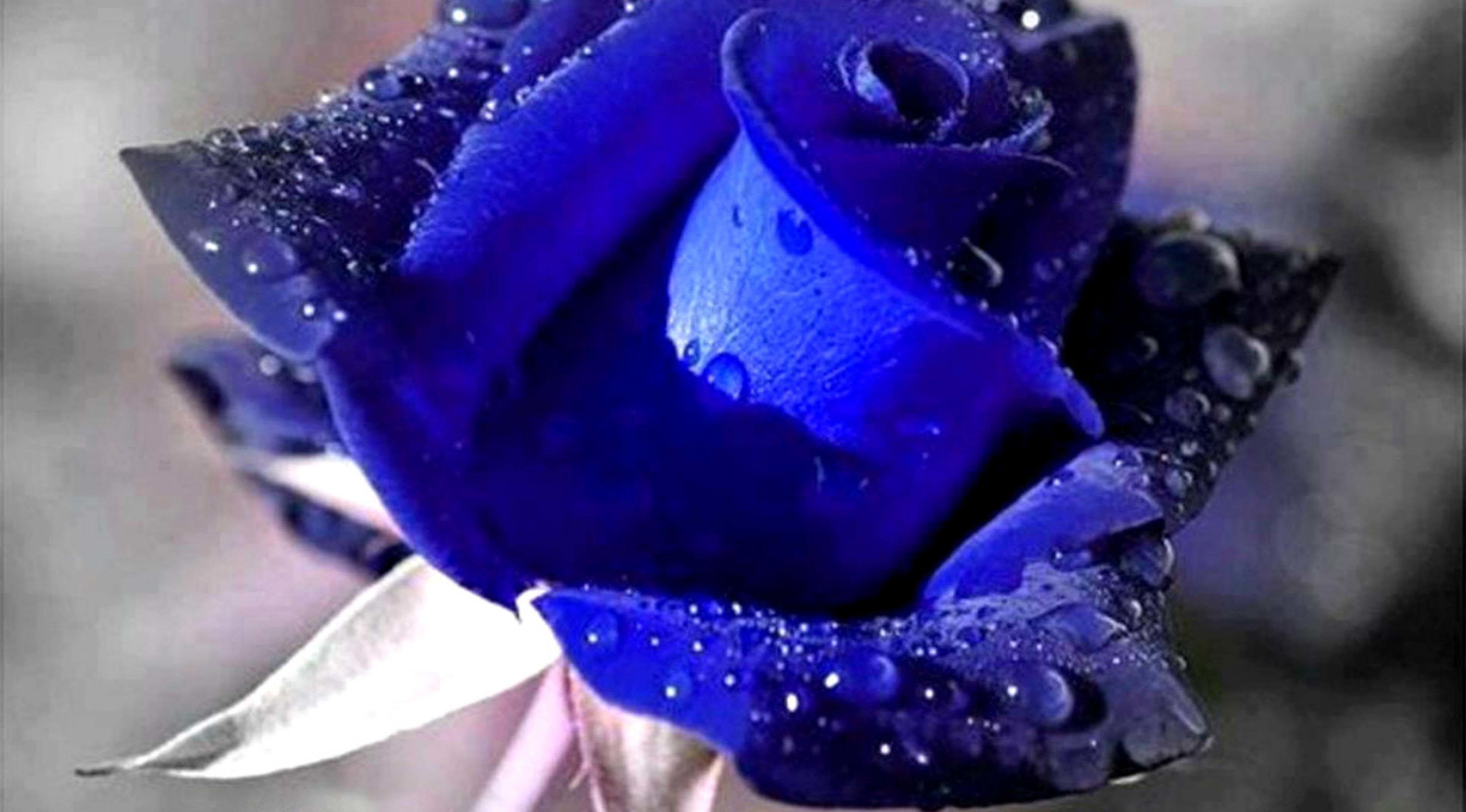 Blue Roses Background (48+ Images