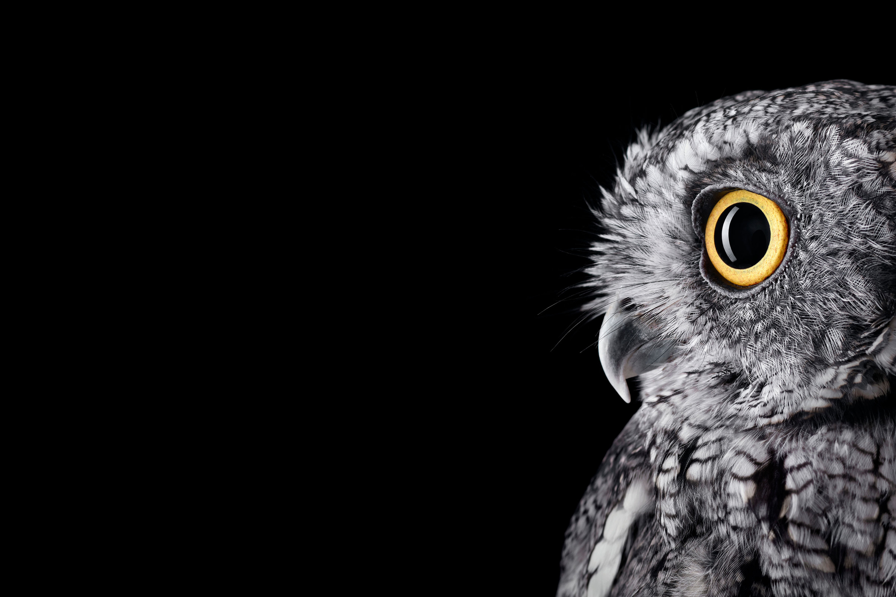 3000x2000 [Studio]I formatted the Surface Studio Owl wallpaper for your Surface  ( PNG) ...