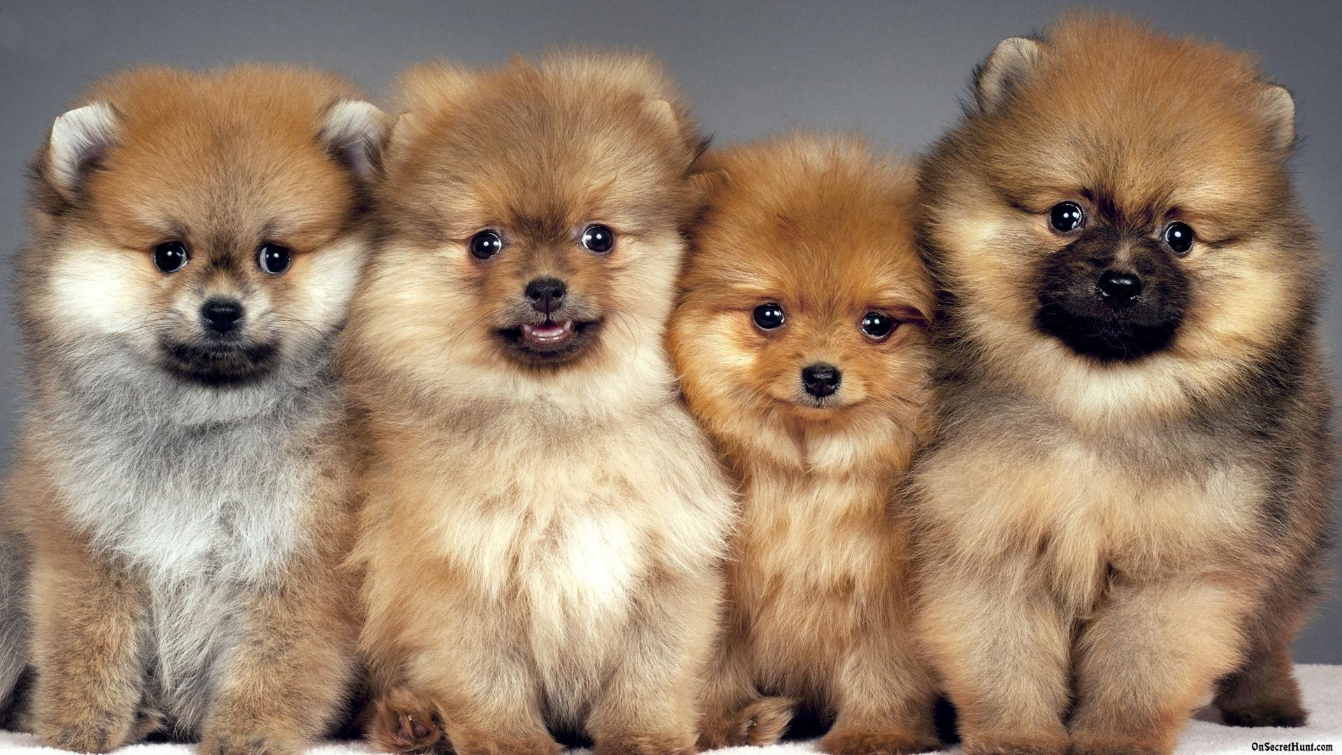 1920x1080 pomeranian wallpapers wallpaper cave