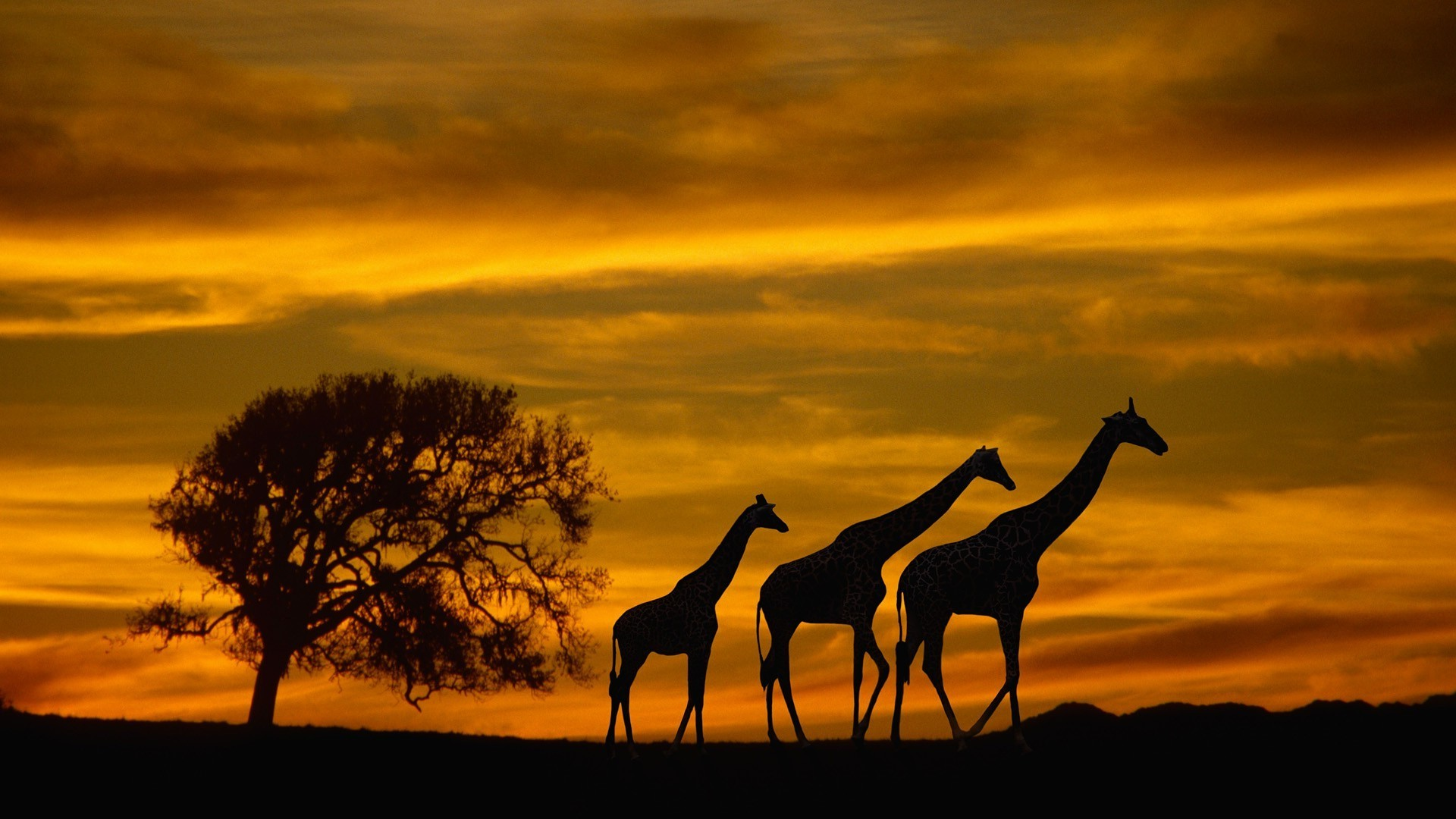 1920x1080 Africa, Giraffes, Animals, Wildlife, Sunset, Silhouette, Clouds, Sky, Trees  Wallpapers HD / Desktop and Mobile Backgrounds