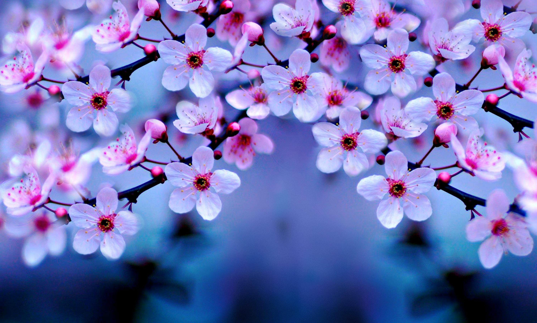 1080x1920 Cherry Blossom IPhone Wallpaper Tumblr HD