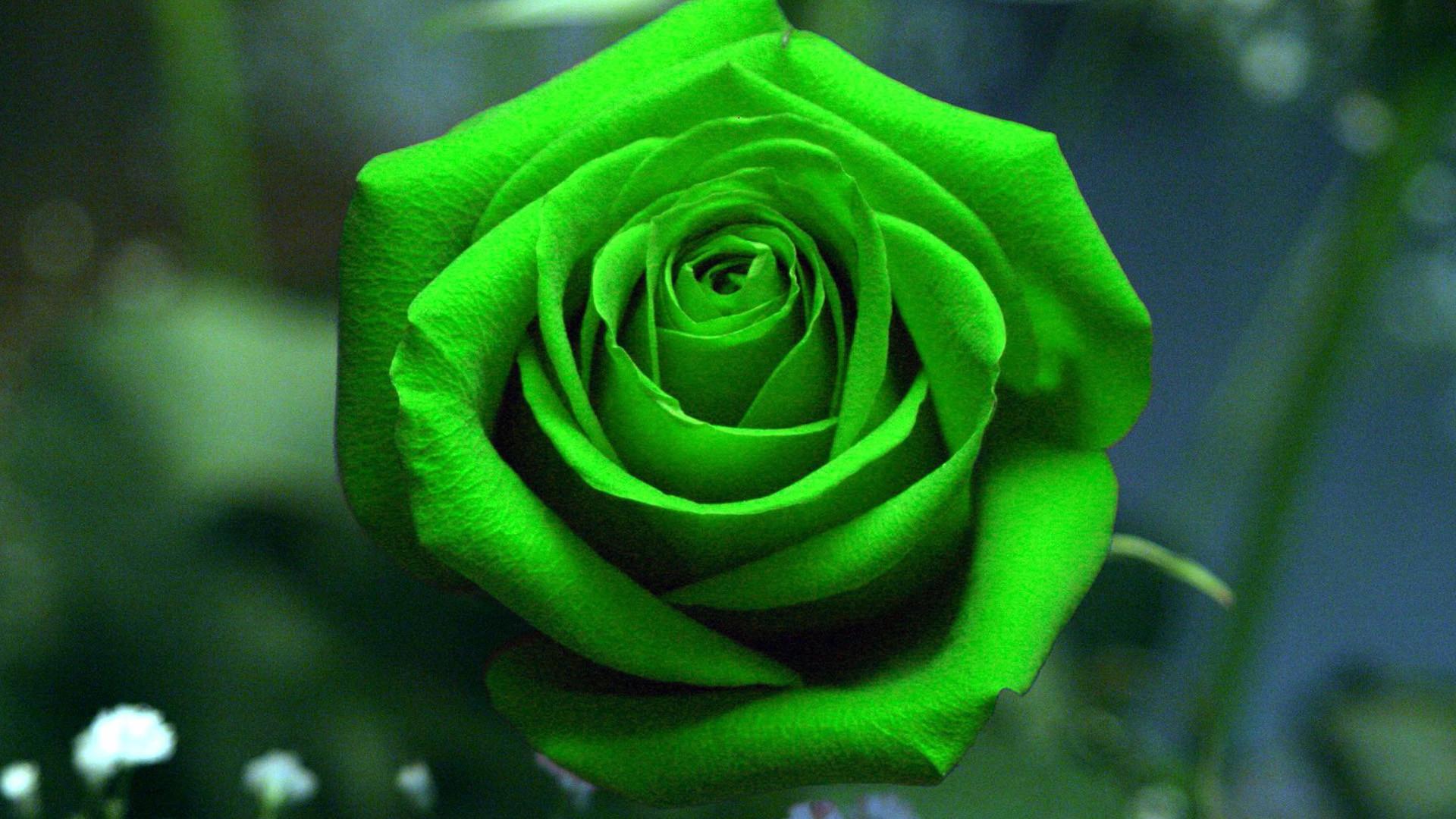 Green Rose Flower Hd Wallpaper
