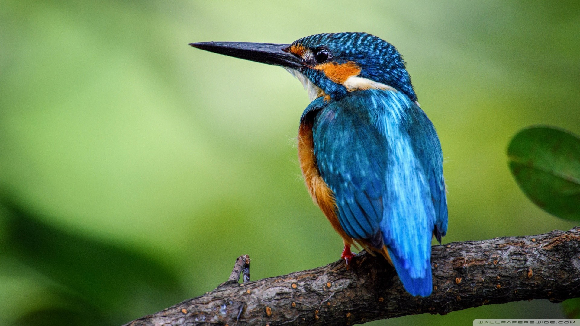Kingfisher Wallpapers: HD Animal Wallpaper 1920x1080 (73+ Images