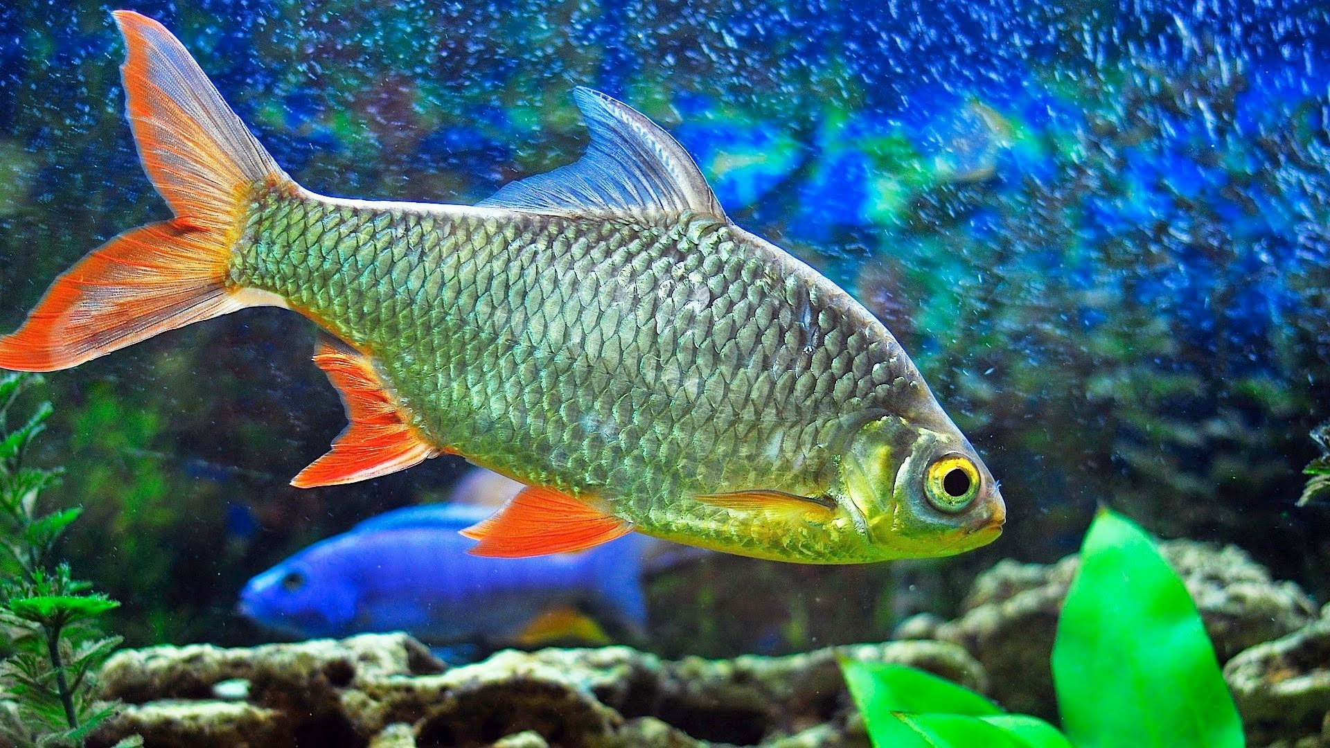 Fish wallpaper and screensavers 58 images for Amazon aquarium fish