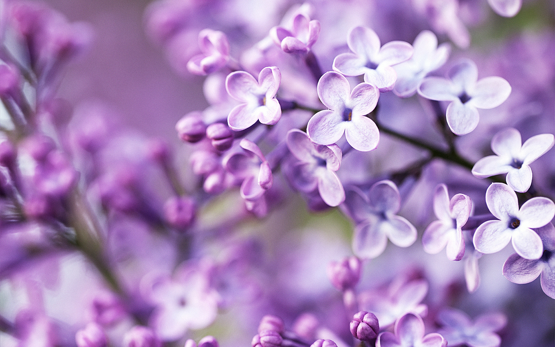 1920x1200 Spring Purple Flowers