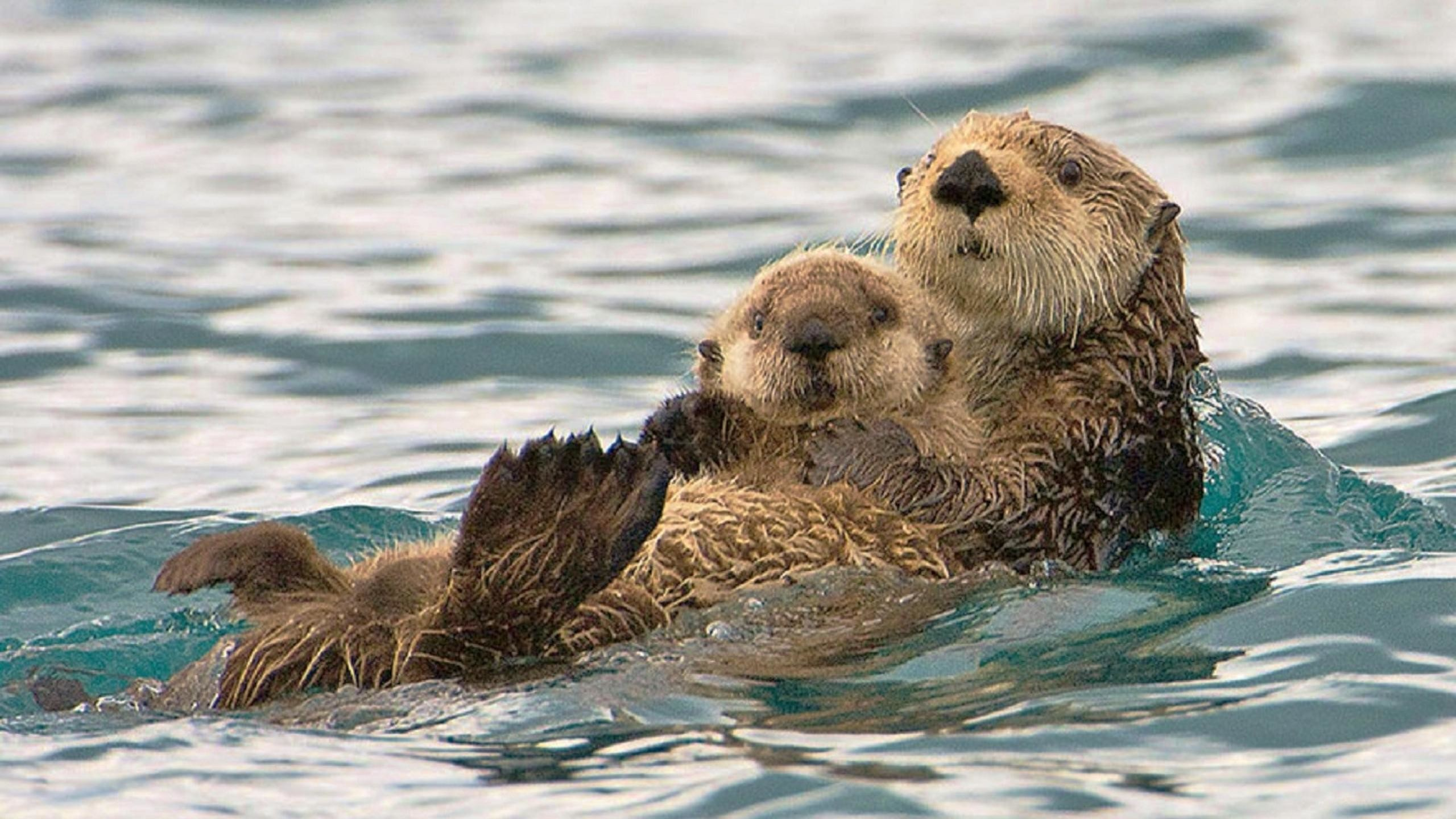 Sea Otter Wallpaper 52 Images
