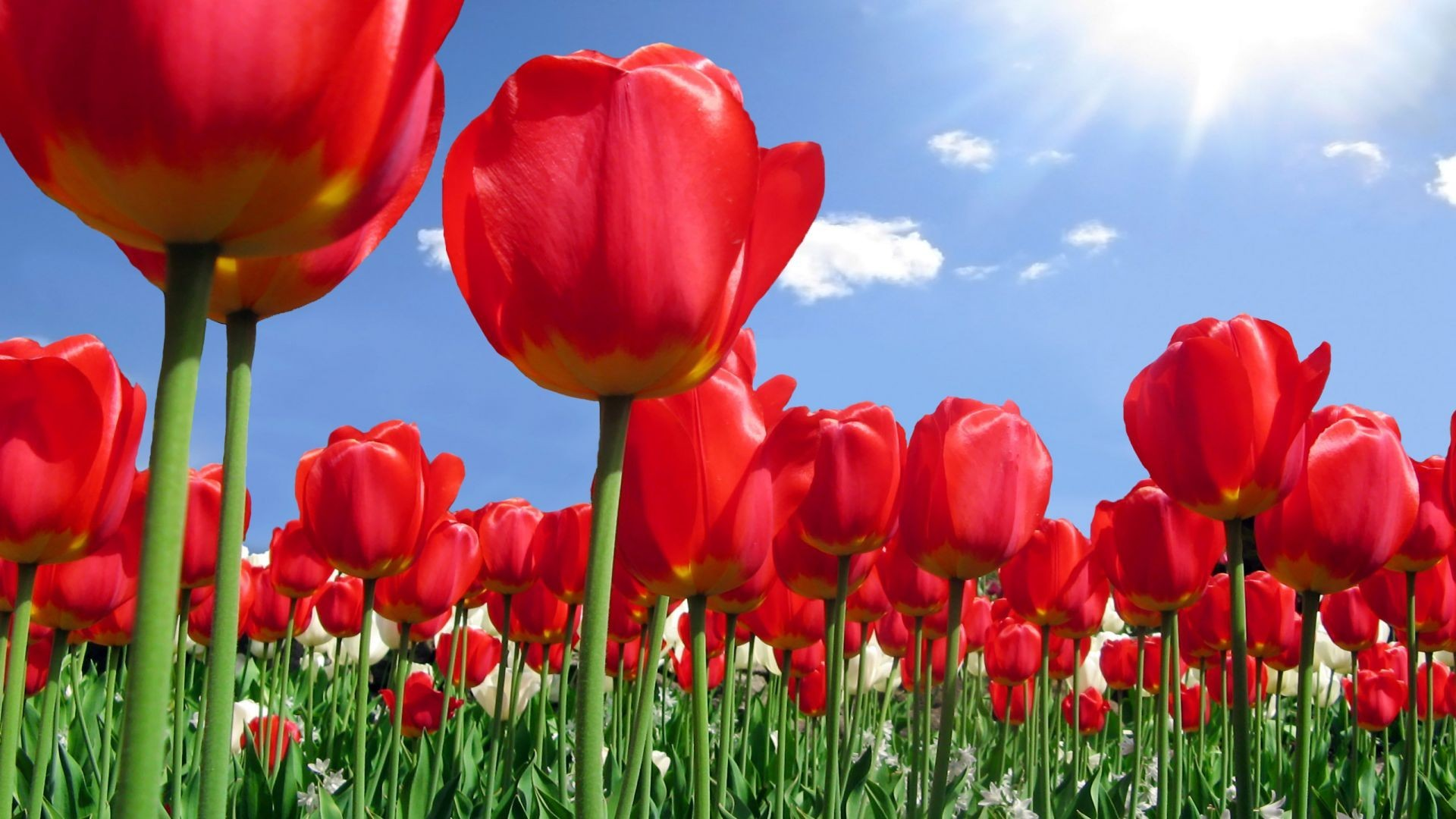 1920x1080 Tulips Tag - Tulip Sky Red Flowers Tulips Cloud Flower Images Hd Desktop  for HD 16