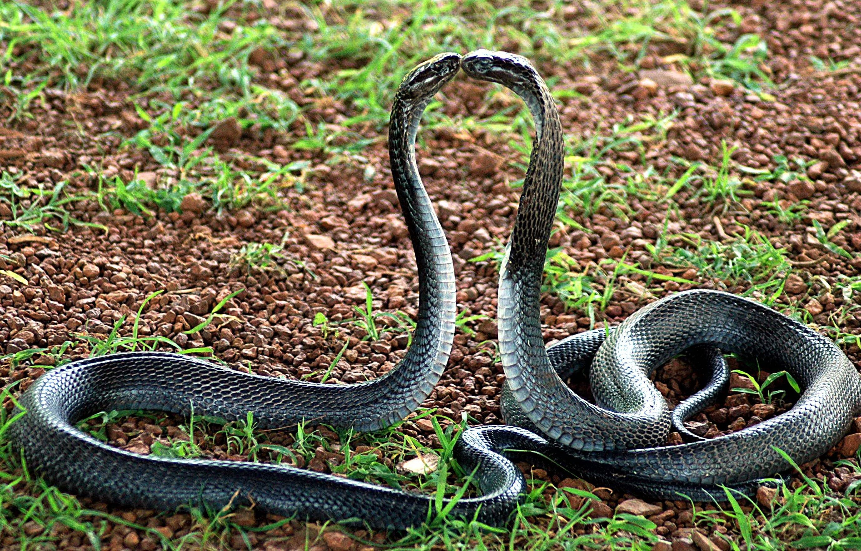 Image result for indian cobra snake