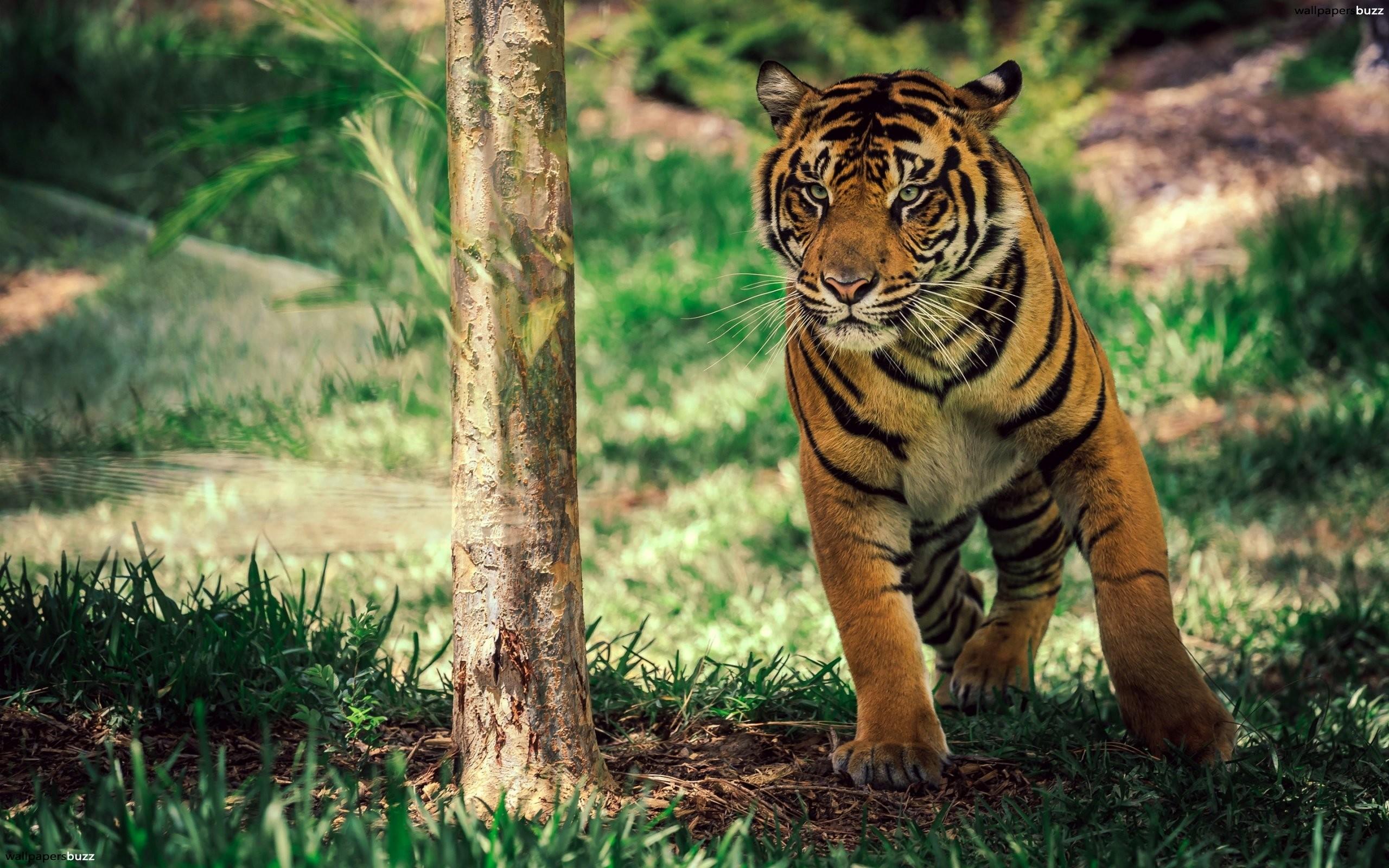 Tiger Resting 4k Hd Desktop Wallpaper For 4k Ultra Hd Tv: Cute Baby Tiger Wallpaper (68+ Images