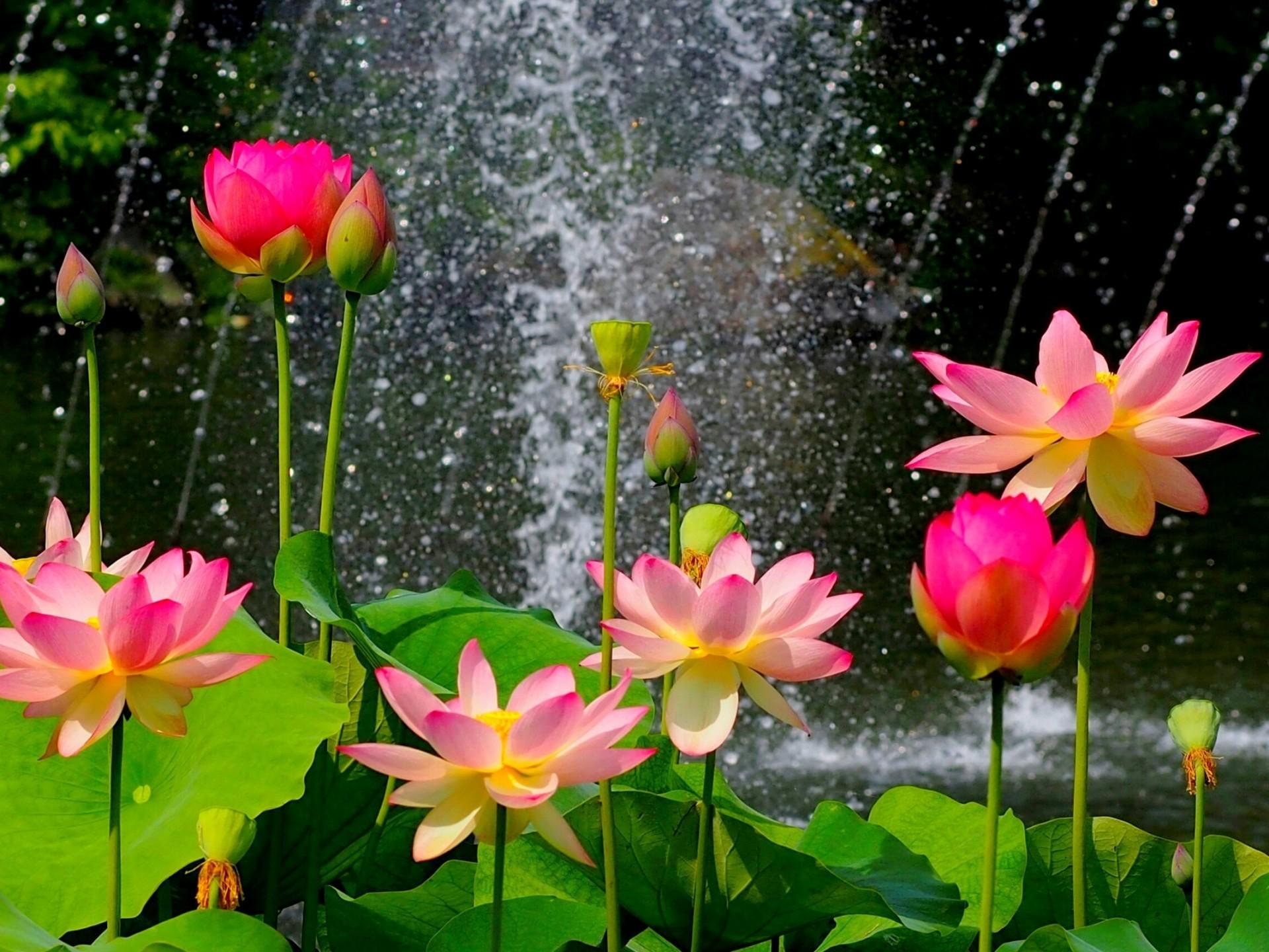 Lotus flower background 54 images 1920x1200 black lotus flower wallpapers high resolution izmirmasajfo Choice Image