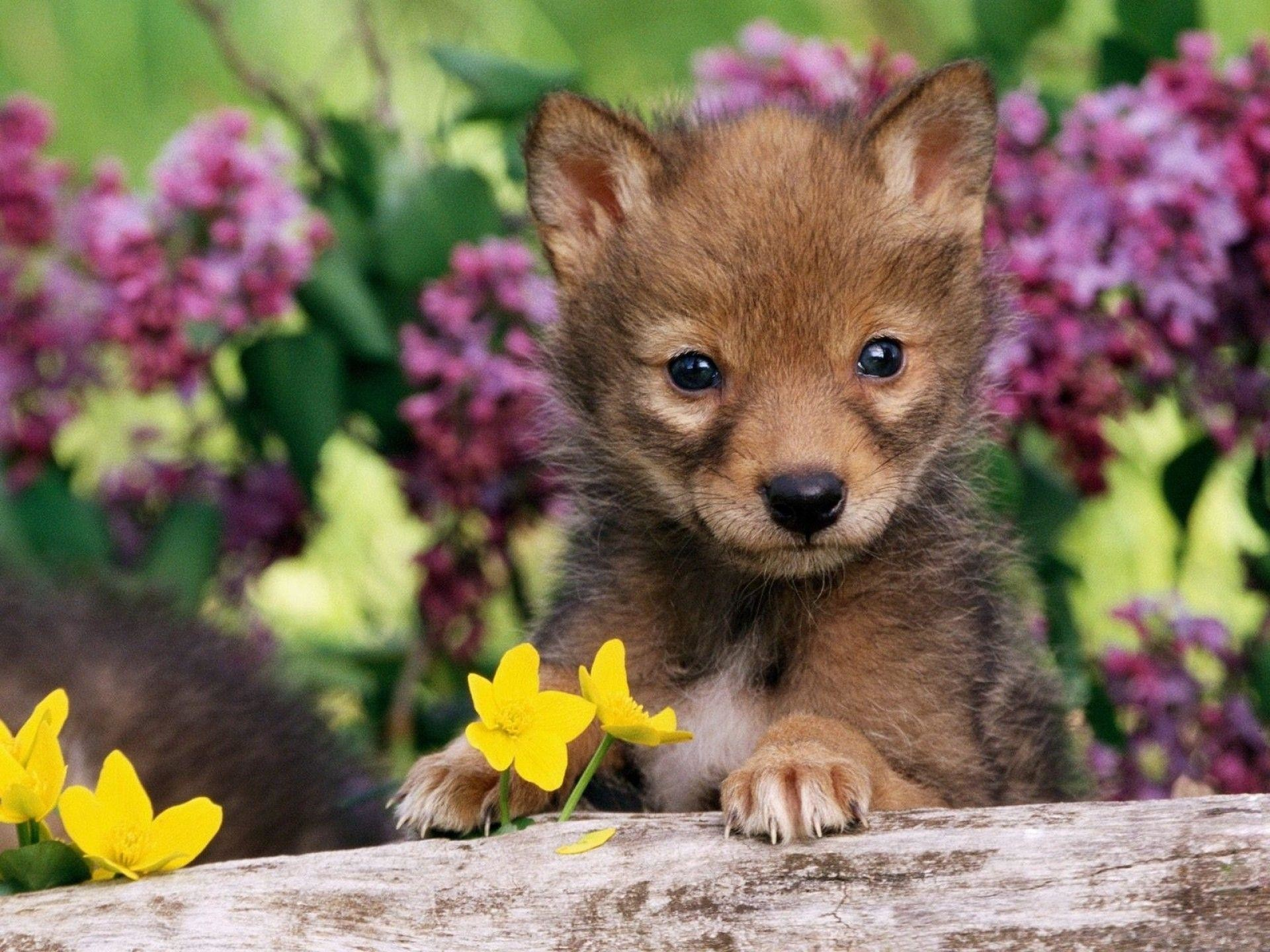 cute baby wolf wallpaper 58 images