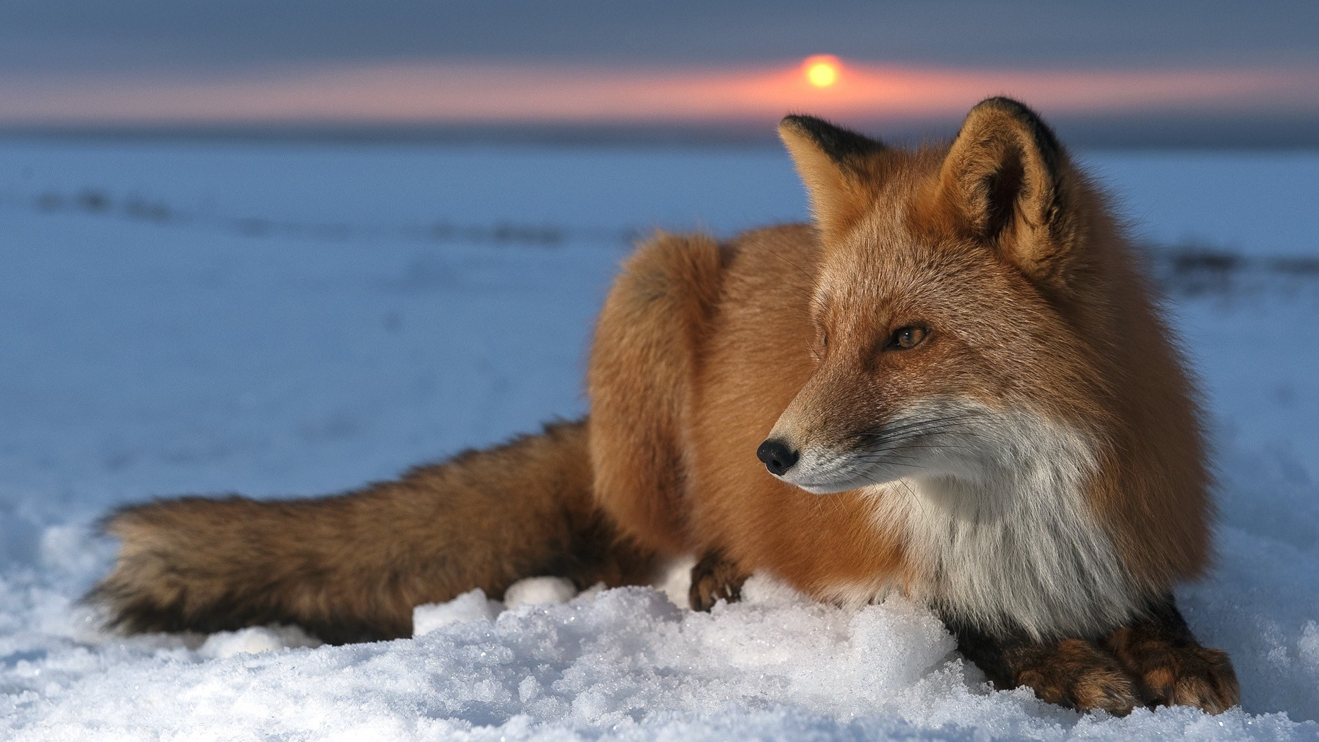1920x1080 #8854, fox category - free wallpaper and screensavers for fox