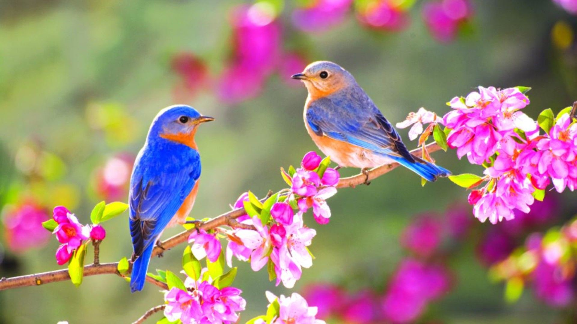 1920x1080 Wallpaper Download  Lovely two little blue birds on a blossom  branch. Animal Wallpapers. HD Wallpaper Download for iPad and iPhone  Widescreen 2160p