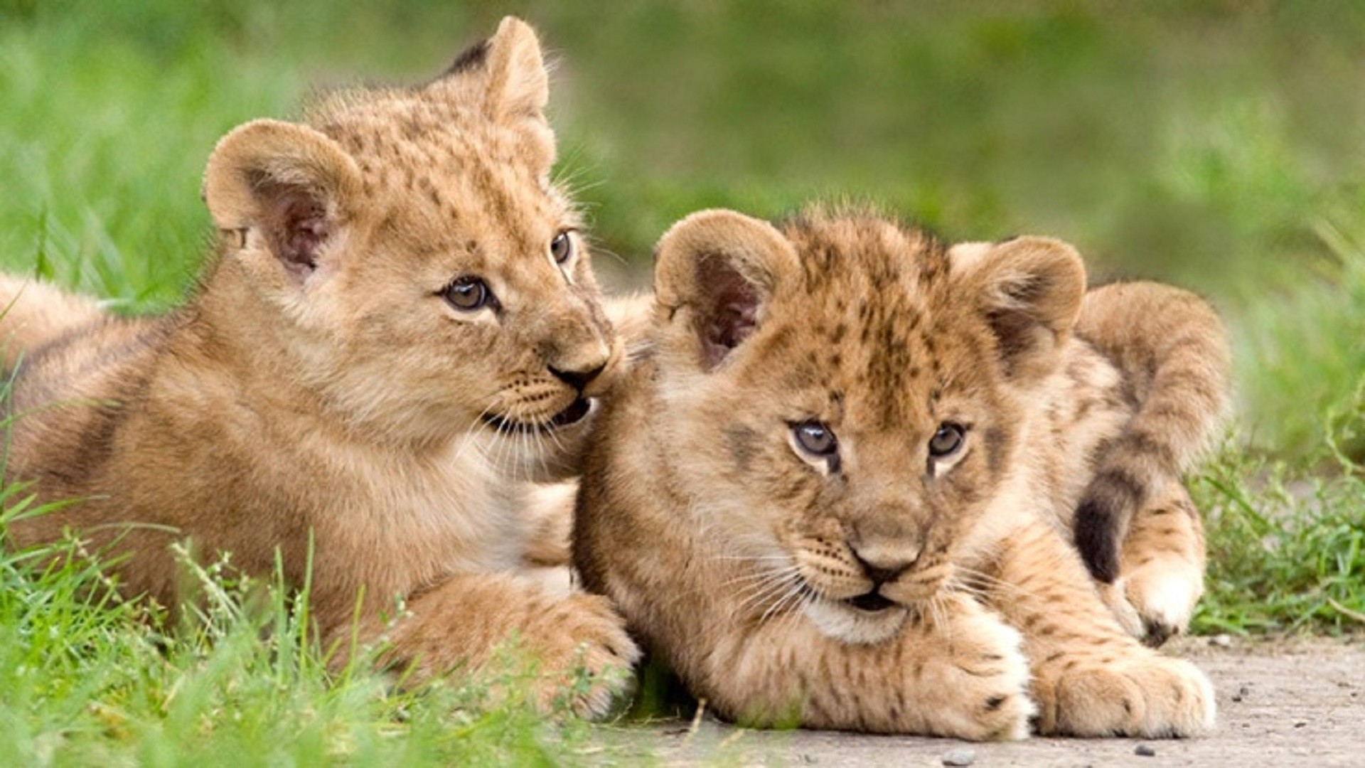 1920x1080 lion-cubs-african-free-hd-wallpapers-downloaded