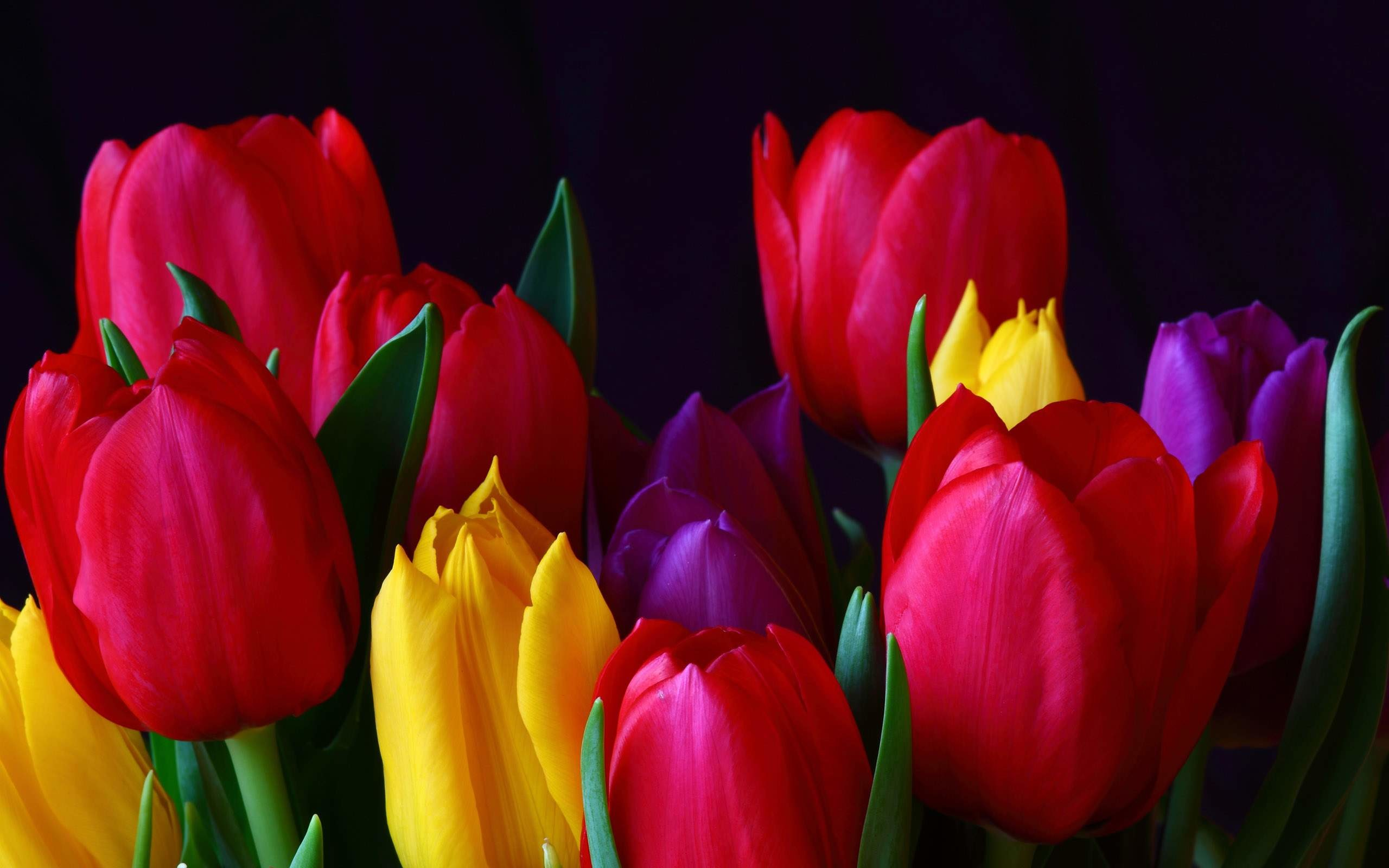 2560x1600 Tulip Flower Wallpaper | Tulip Flower Pictures Free | New Wallpapers