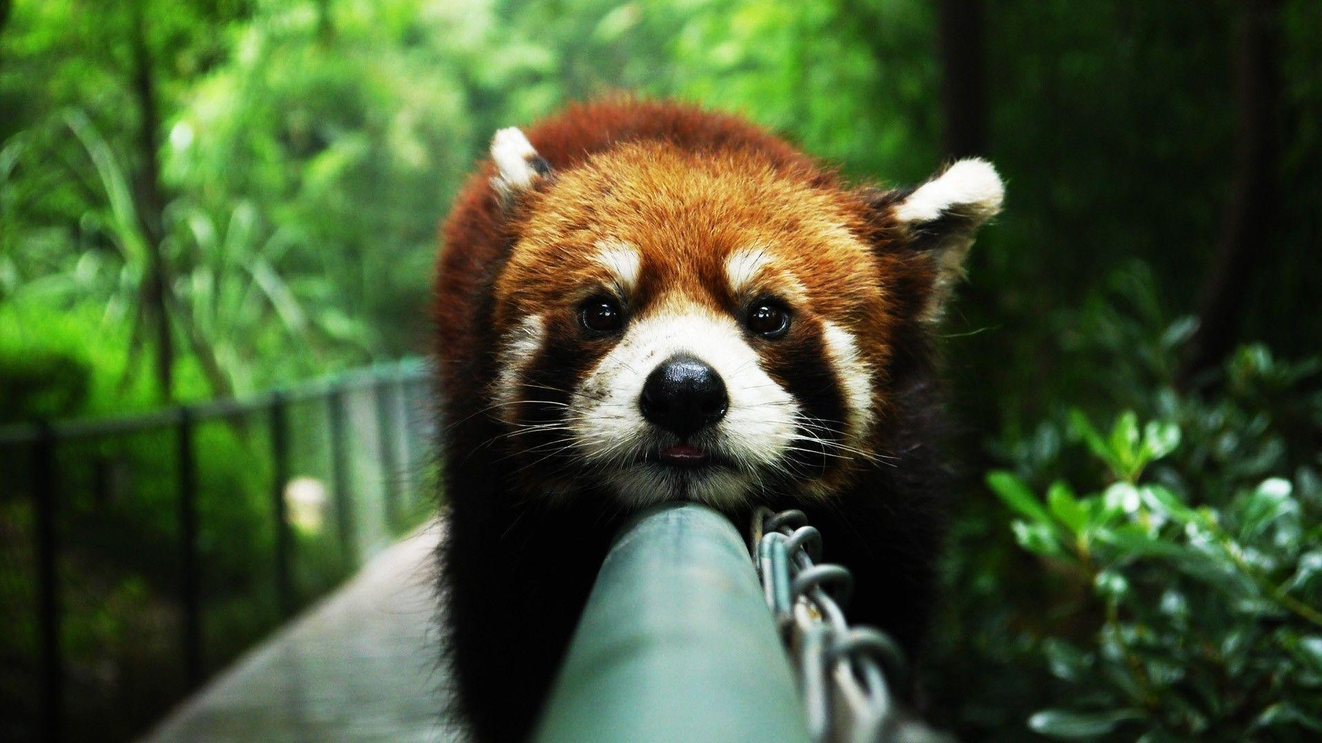 1920x1080 <b>Red panda</b> | Free iPhone 4 <b>
