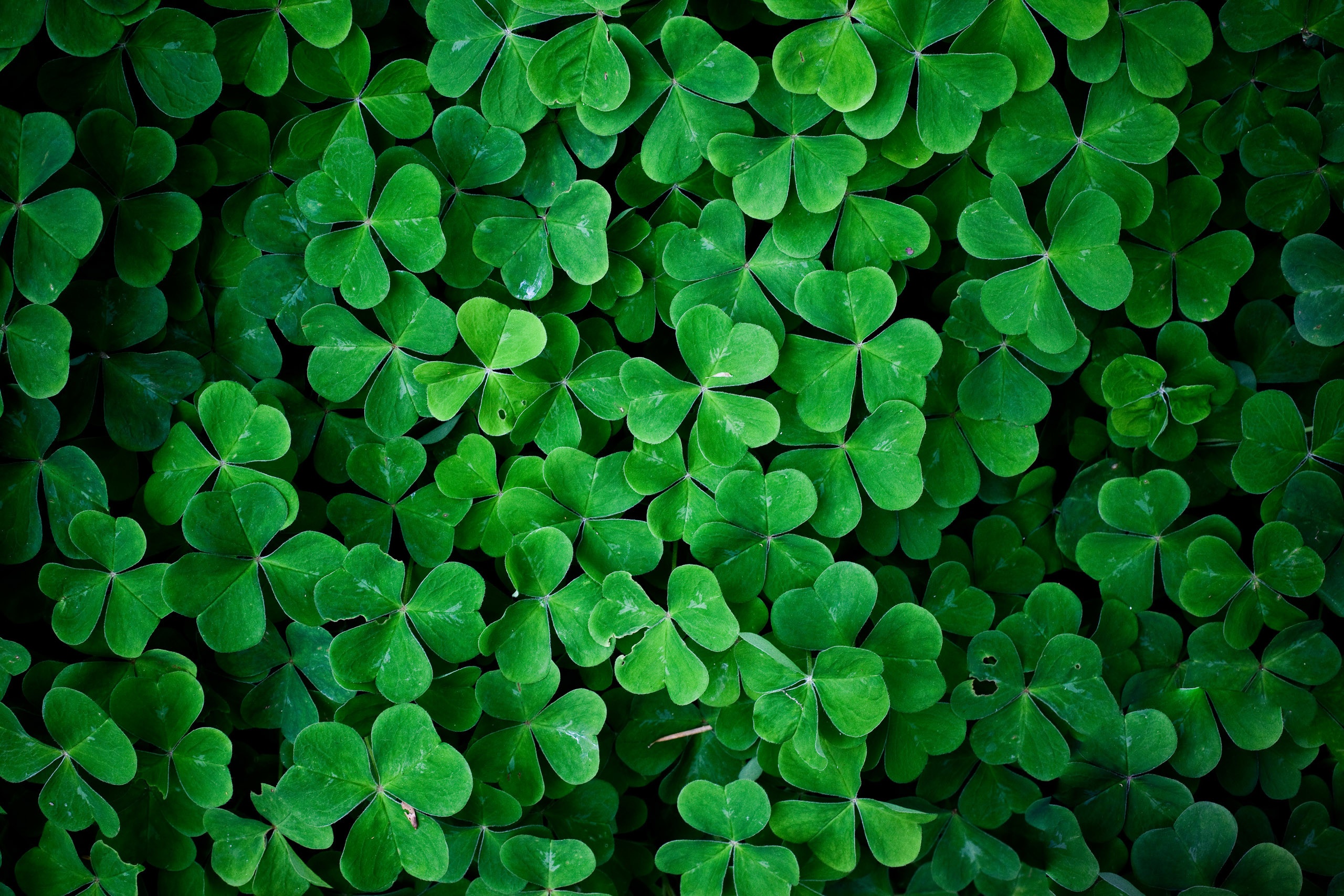 2560x1707 Green leaves clover wall HD nature wallpaper.