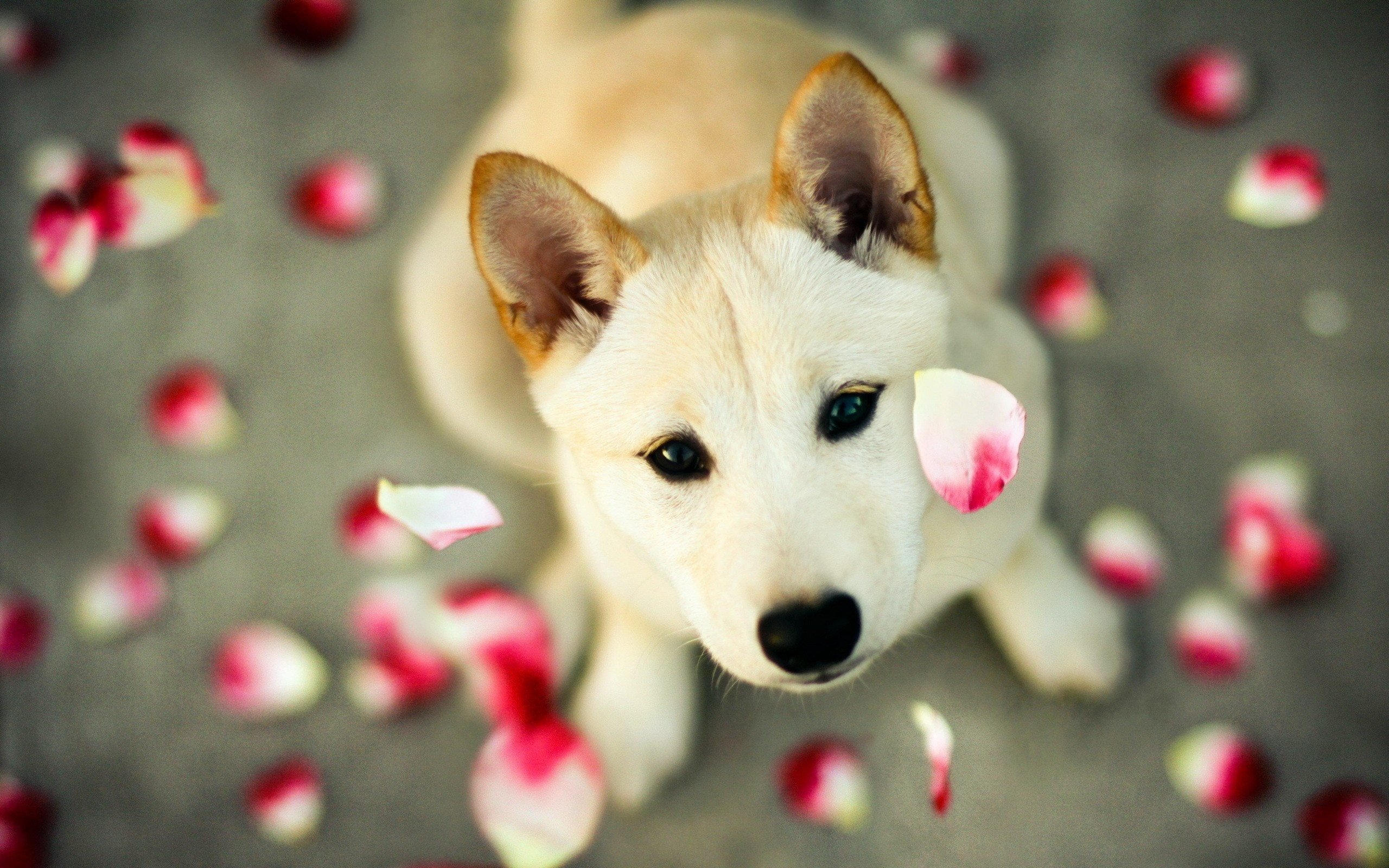 2560x1600 Cute Dog with Petals, Husky Dog with rose petals.