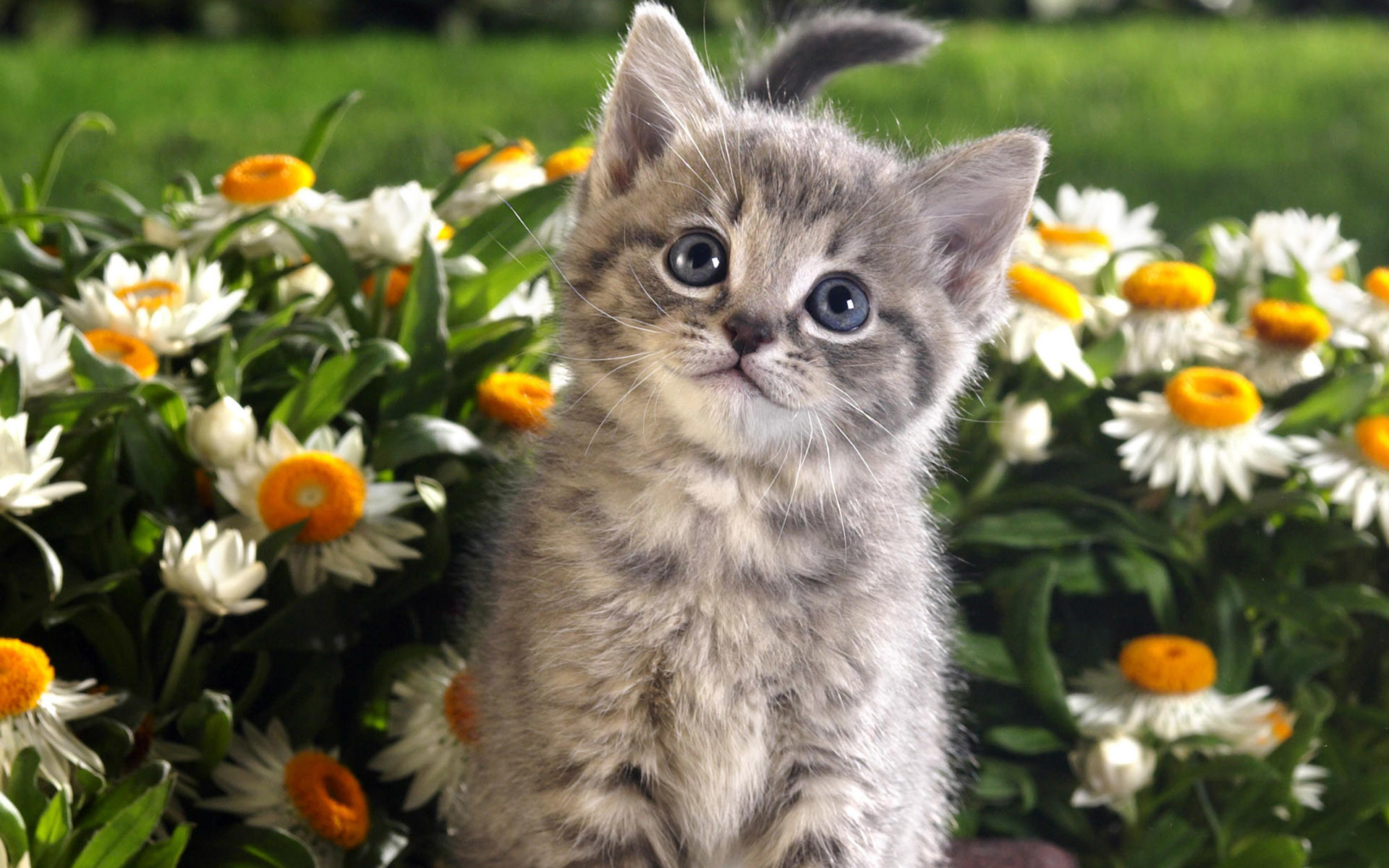 1920x1200 Tabby kitten and spring flowers wallpaper