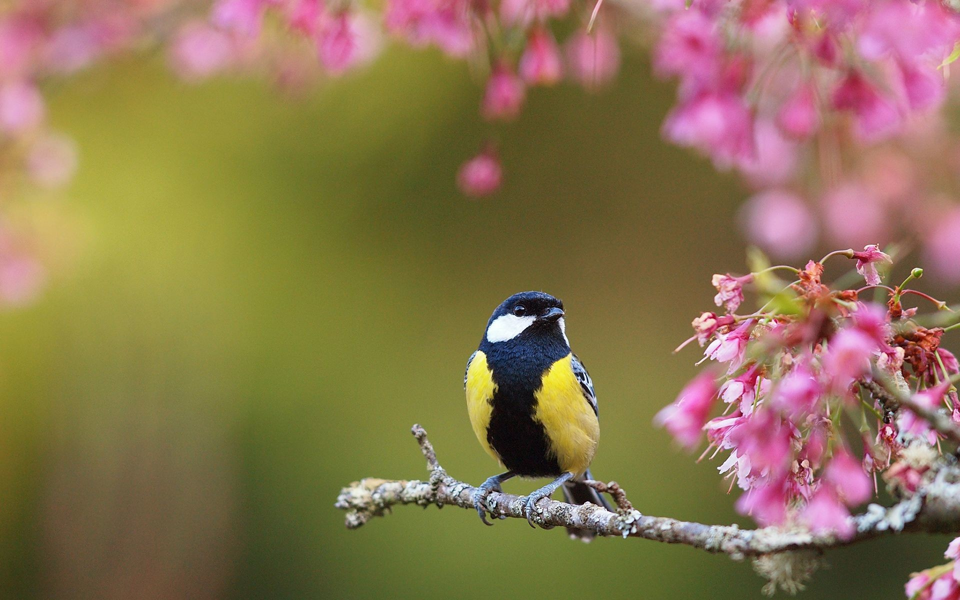 Spring Bird Desktop Wallpaper 81 Images