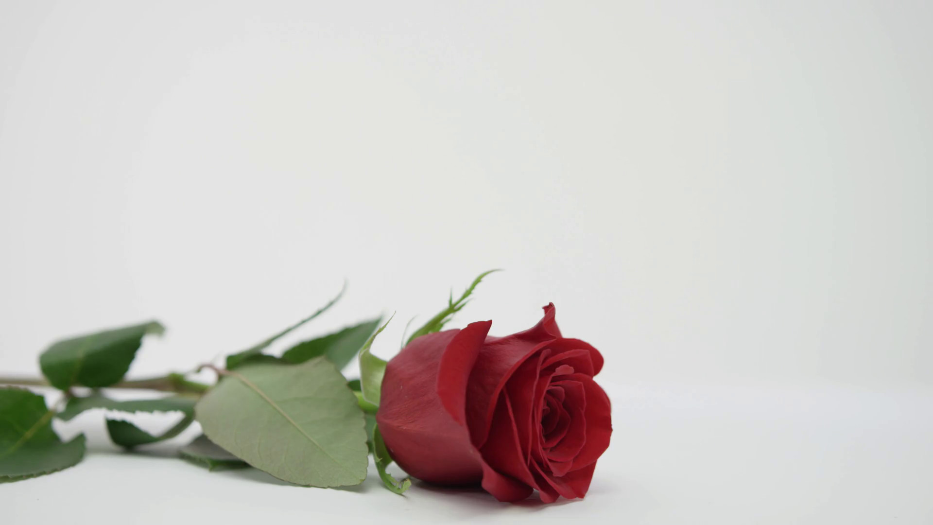 1920x1080 Picking Up Red Rose On White Background Love And Valentines Day Stock Video  Footage - Storyblocks Video