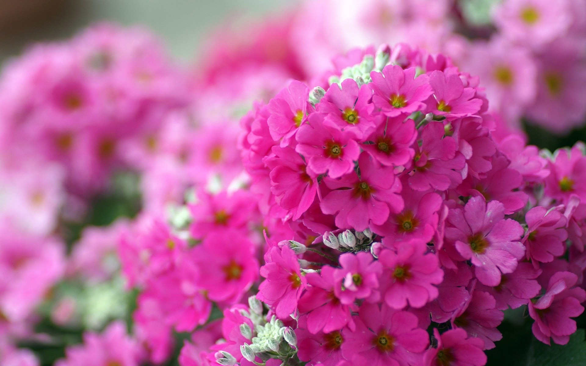 1920x1200 Small pink flowers wallpaper 13280