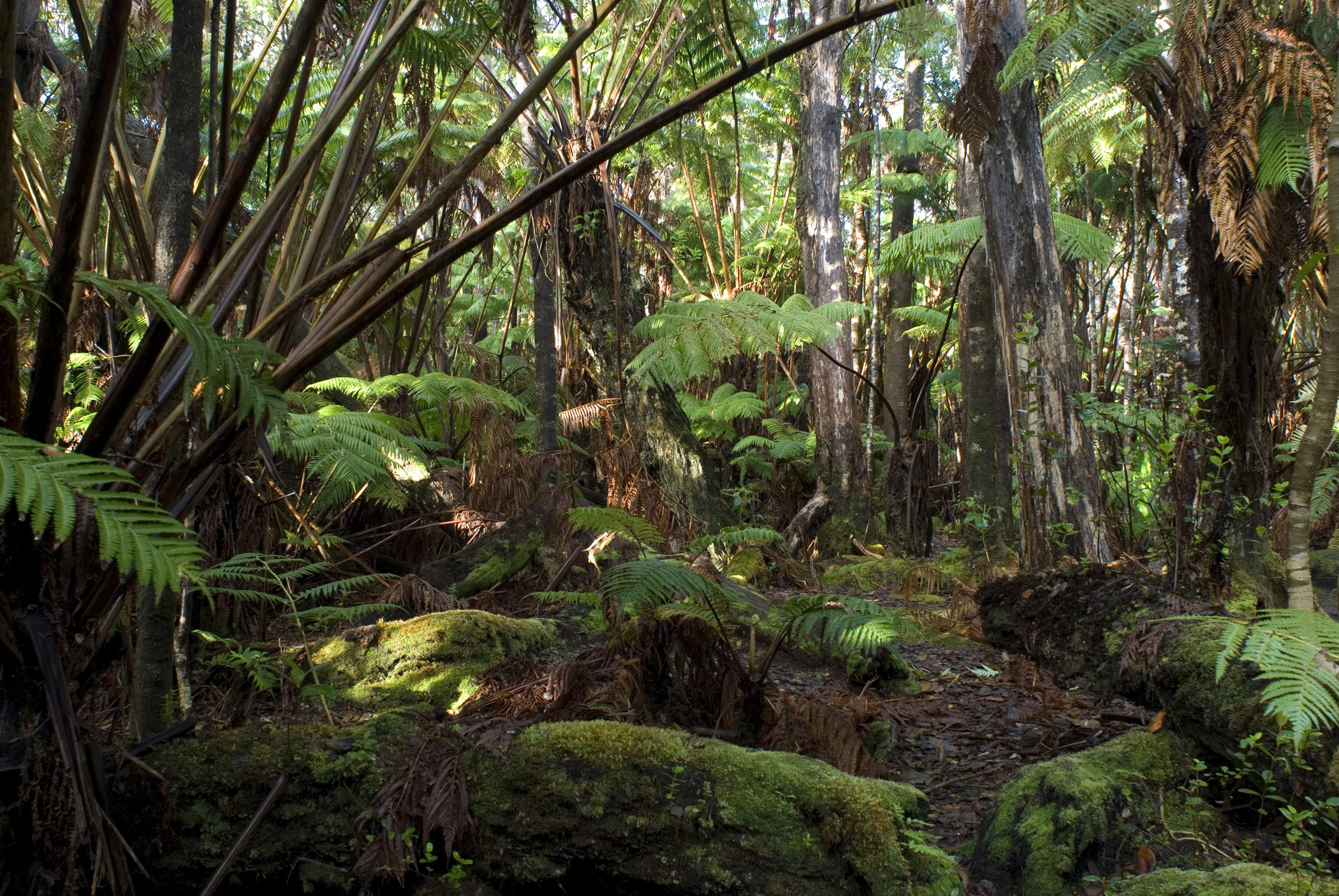 2100x1406 Hawaiian rainforest background with dense trees and lush green ferns and  vegetation covering the floor