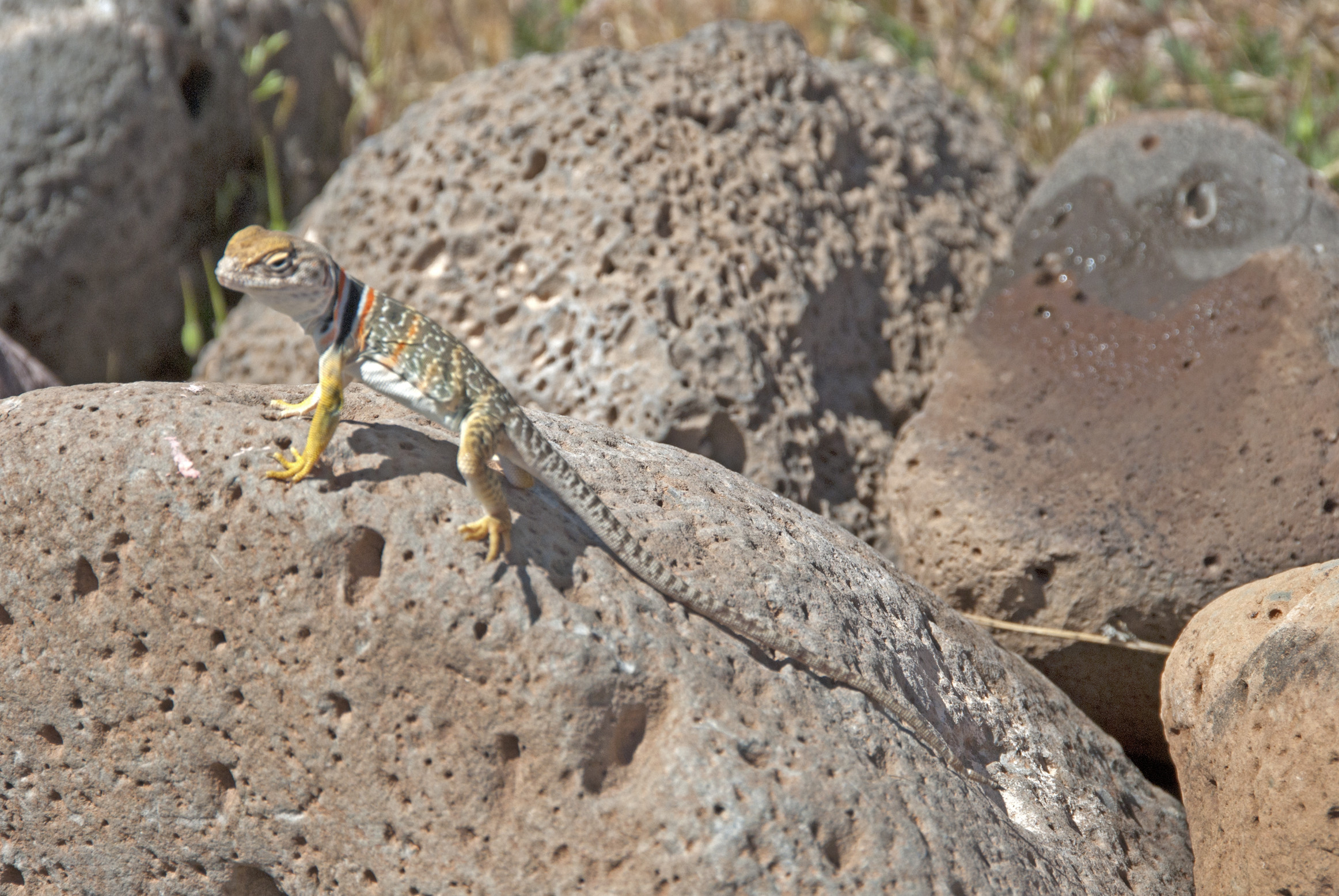 Res: 2325x1556, ... Collared Lizard Wallpaper for Computer ...