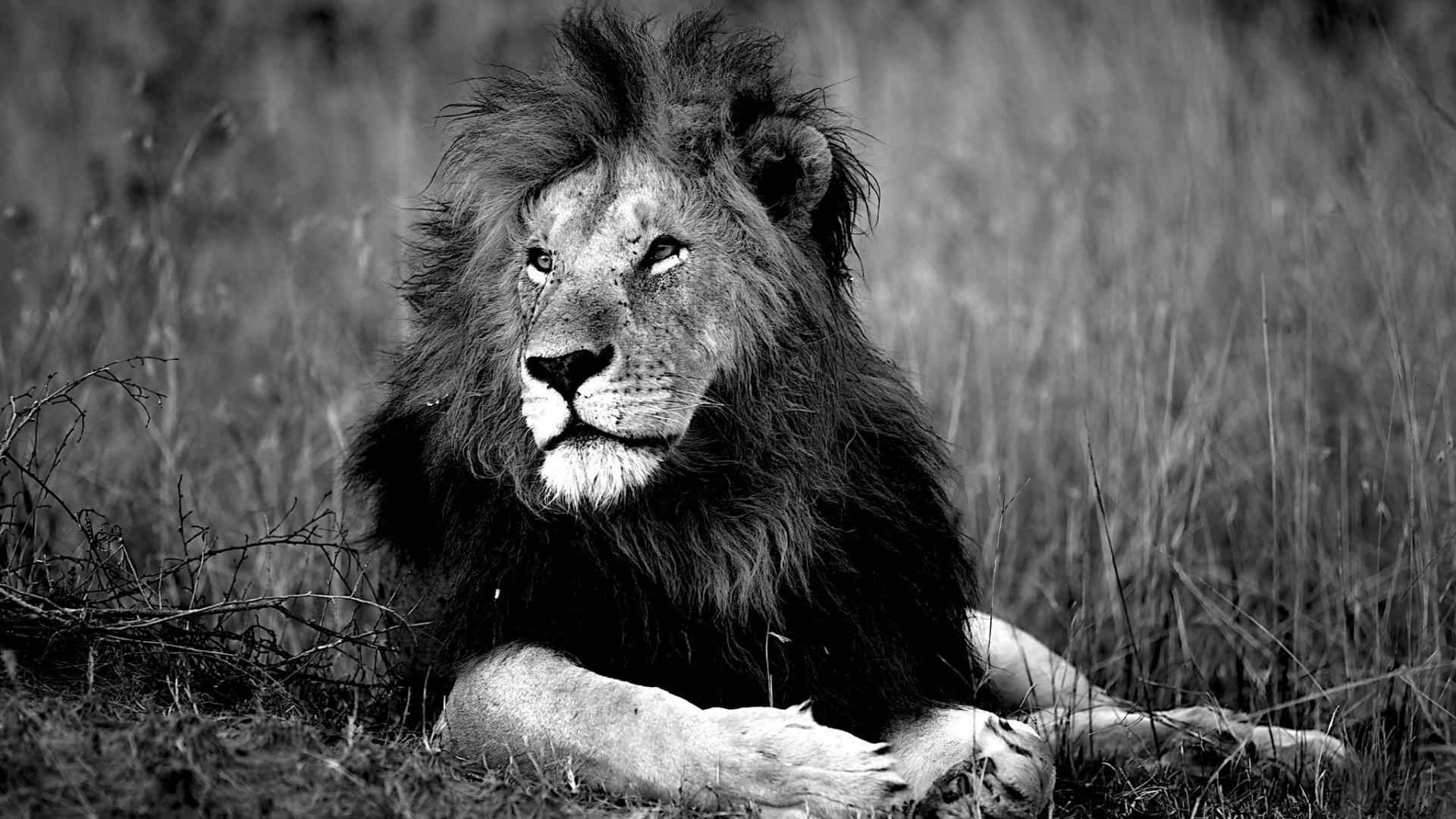 Lion Hd Wallpapers: White Lion Wallpapers (66+ Images