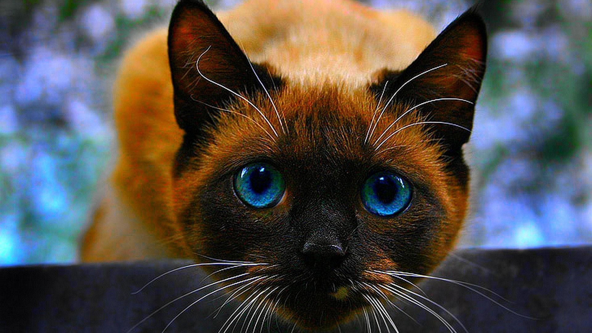 1920x1080 Siamese cat wallpapers - HD Wallpapers |High Definition| 100 .