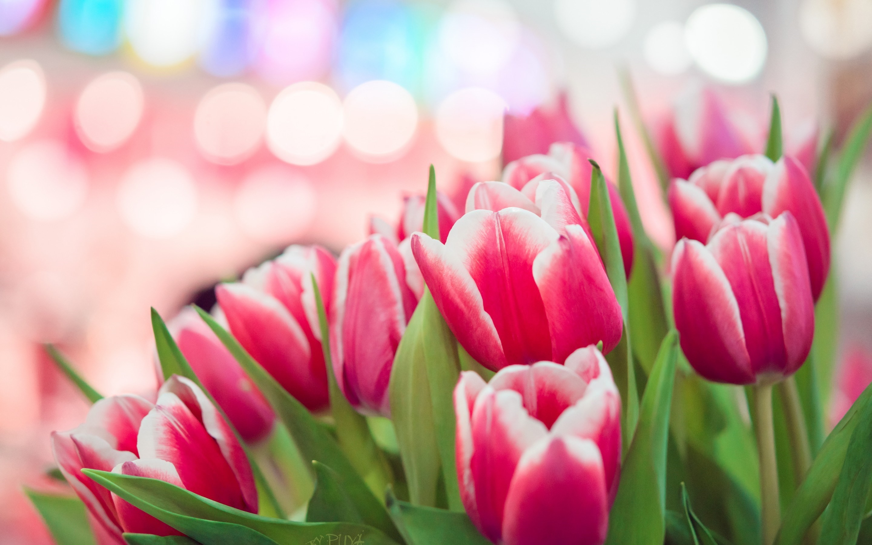 2880x1800 Pink Tulips Background