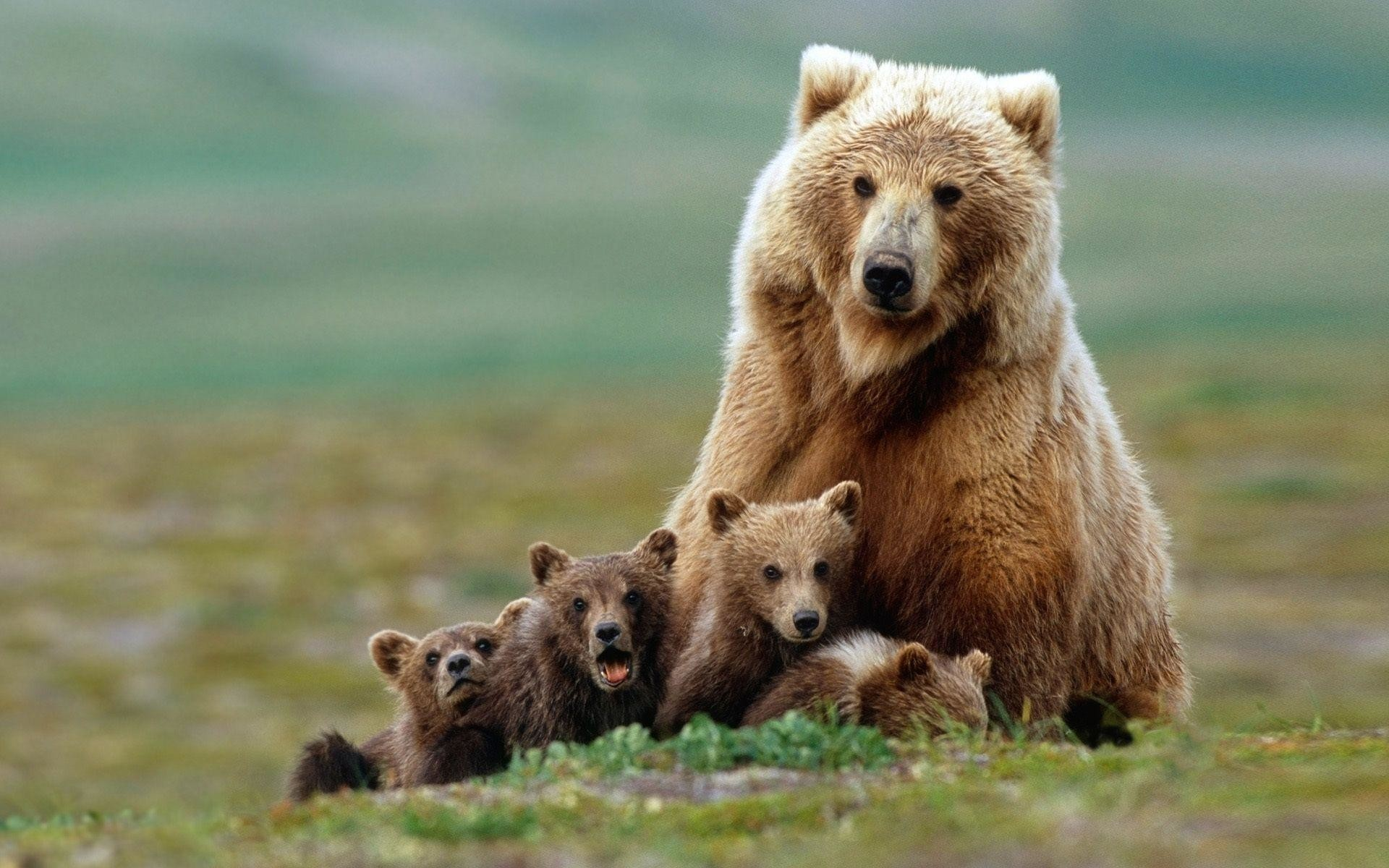 1920x1200 Animals For > Baby Grizzly Bear Wallpaper