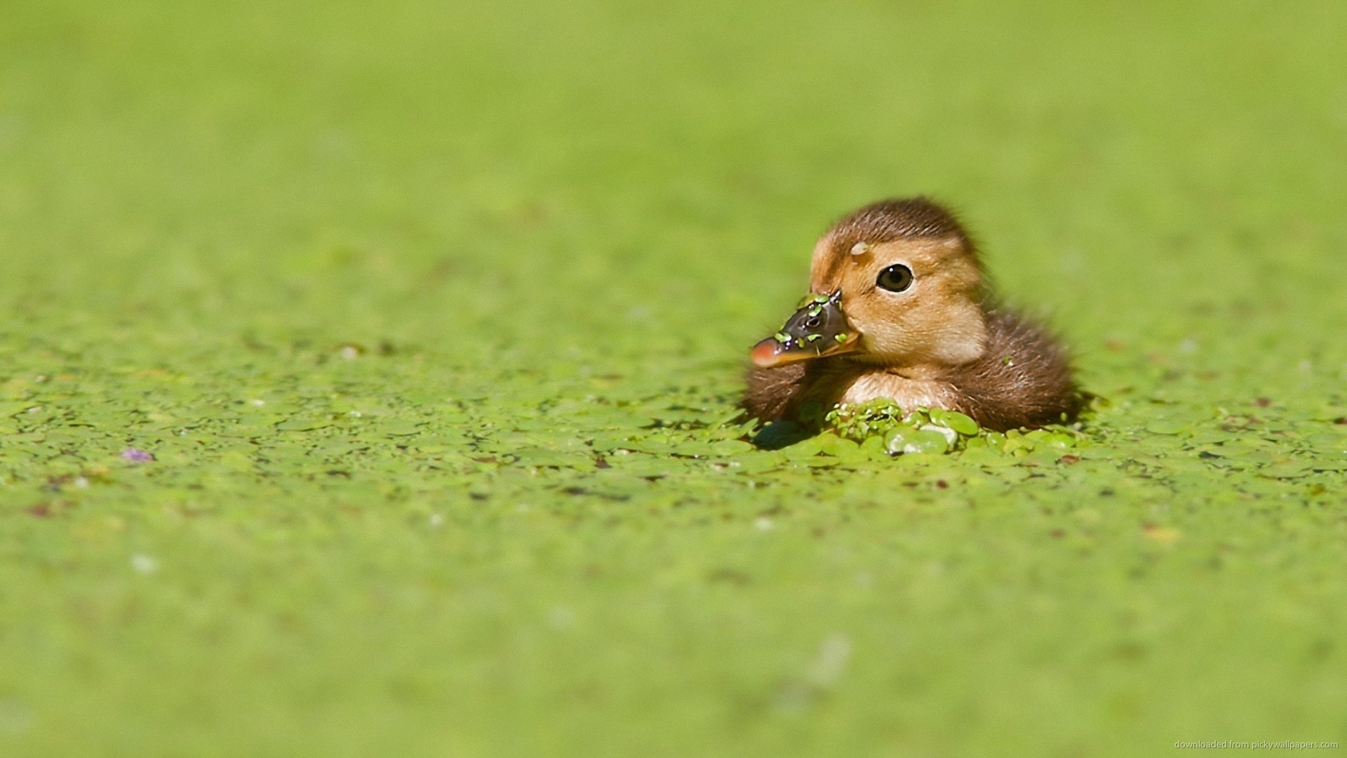 1920x1080 Duckling in green water for