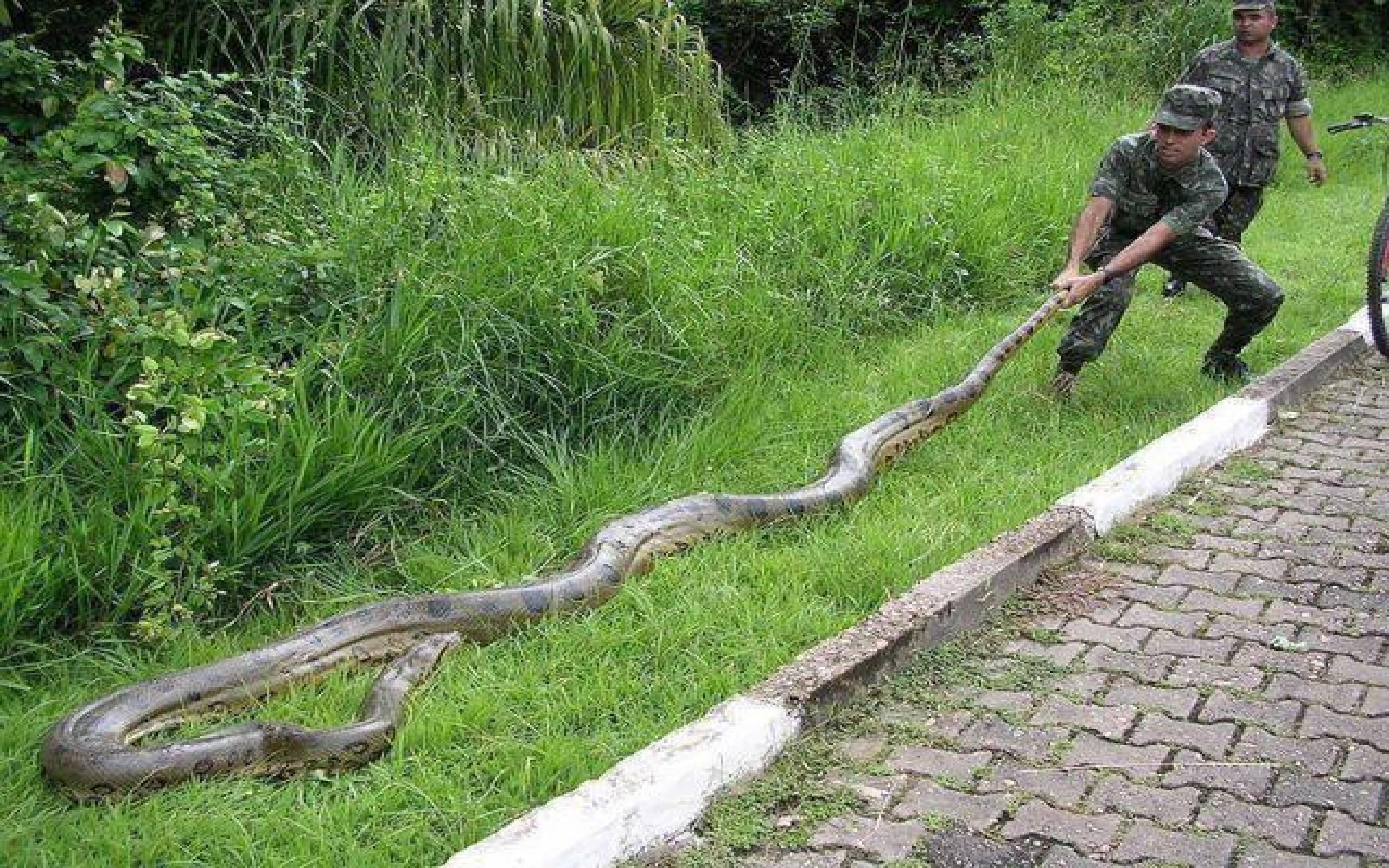 Indian King Cobra Snake Wallpaper (50+ images)