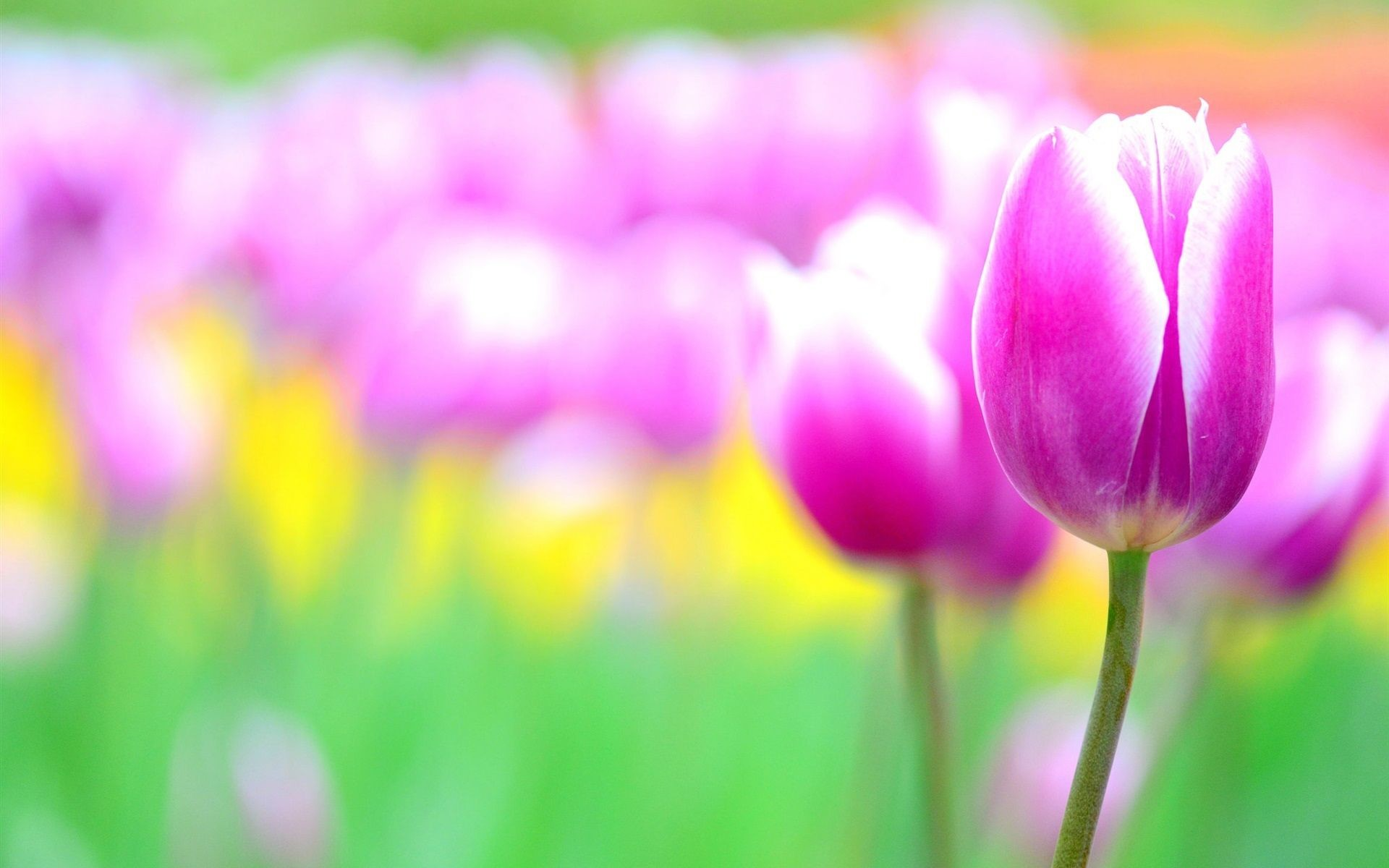 1920x1200 Pink Tulip Flowers Blur Background Wallpaper