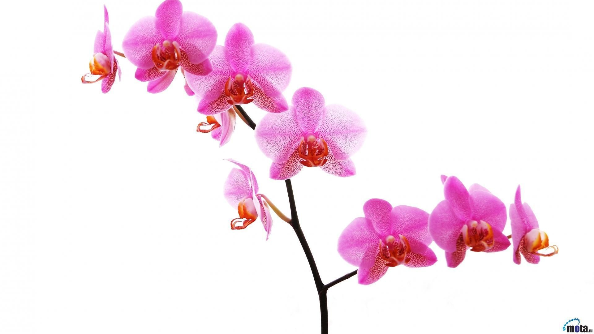 1920x1080 Top Orchid White Phone Wallpaper Images for Pinterest