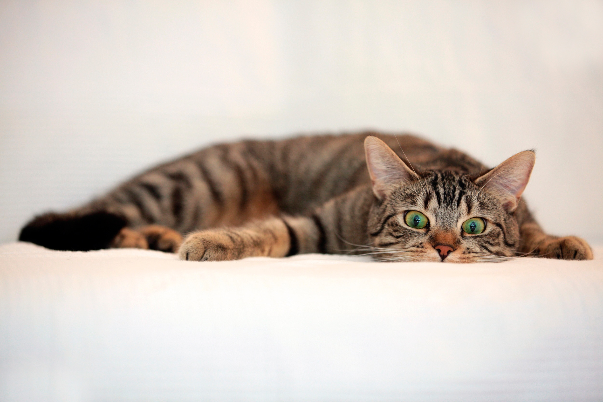 2500x1667  Wallpaper cat, tabby, eyes, surprise, lie