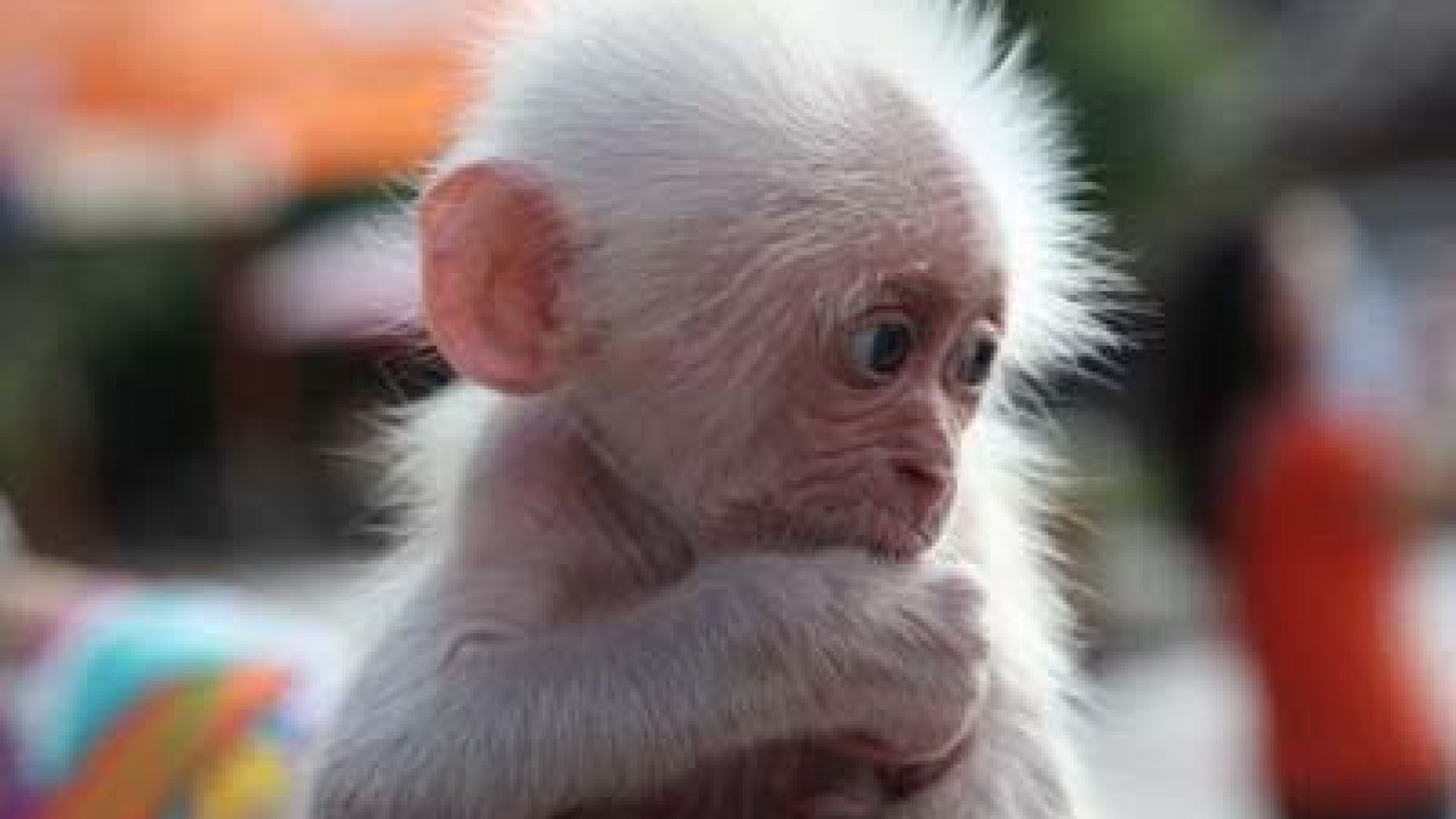 1920x1080 HD Images, HD Pictures, Backgrounds, Desktop Wallpapers - hd wallpaper ...  baby funny monkey ...