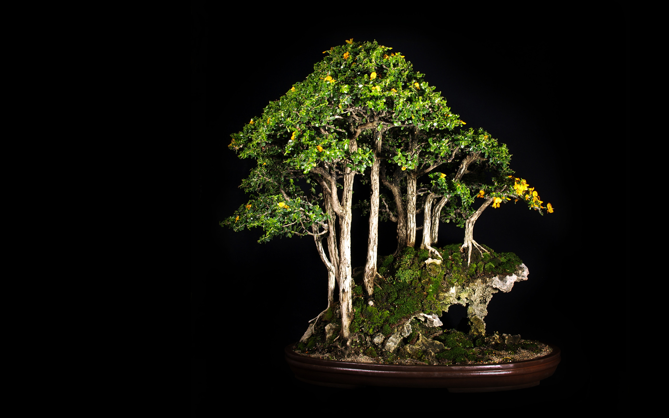 2560x1600 high definition, bonsai, peace, lovely place, windows wallpaper,download, tree, tree, free, leaves, black Wallpaper HD