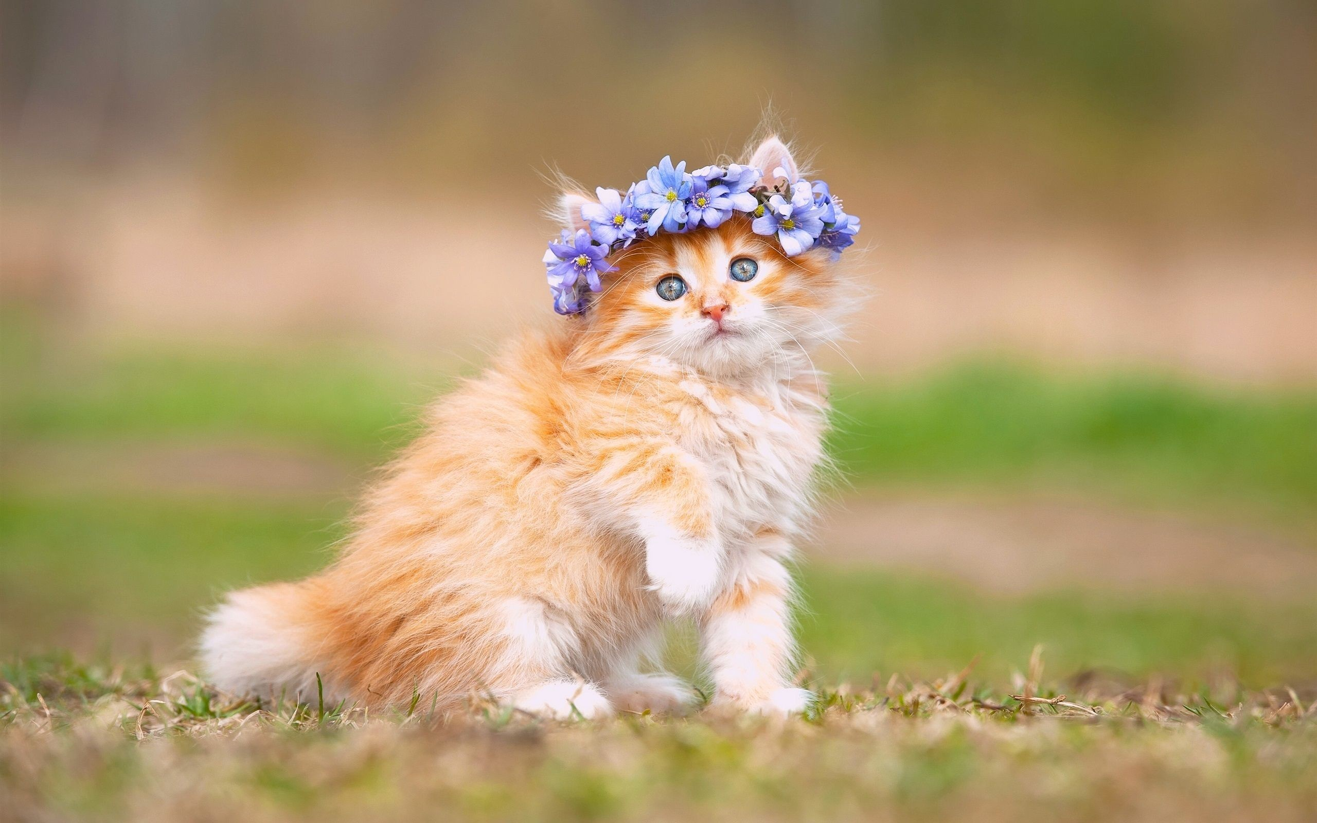 2560x1600 ... Maine Coon Kitten Wallpaper